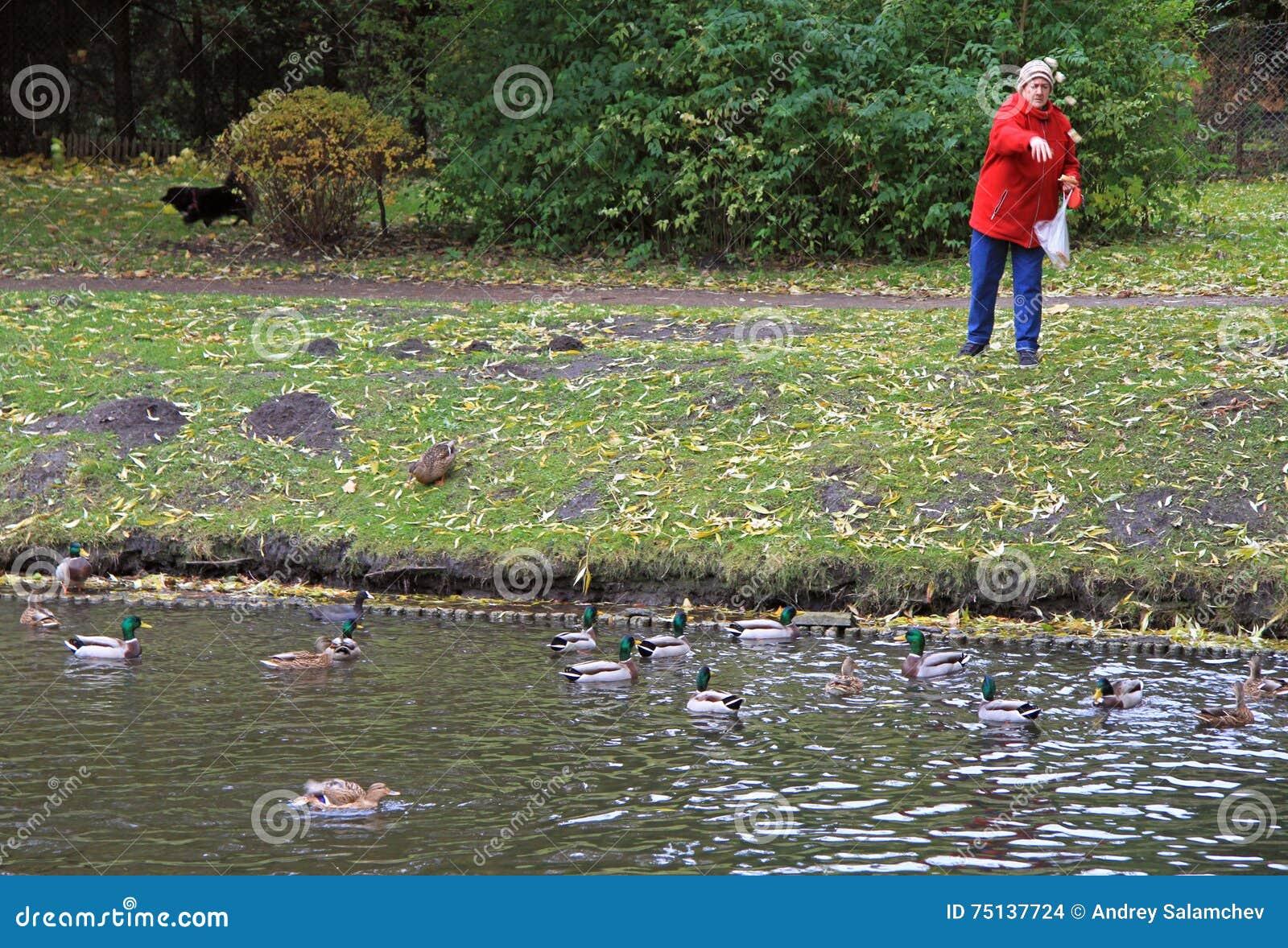 老妇人在湖喂养鸭子