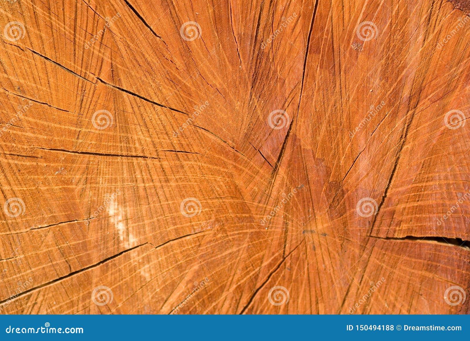 老木圣栎树裁减表面 详细的温暖的黑褐色和一个击倒的树干的橙色口气 r