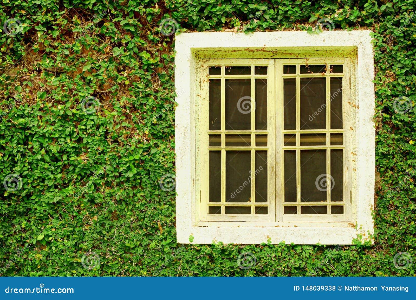 老白色木窗口和常春藤绿色叶子报道了墙壁背景