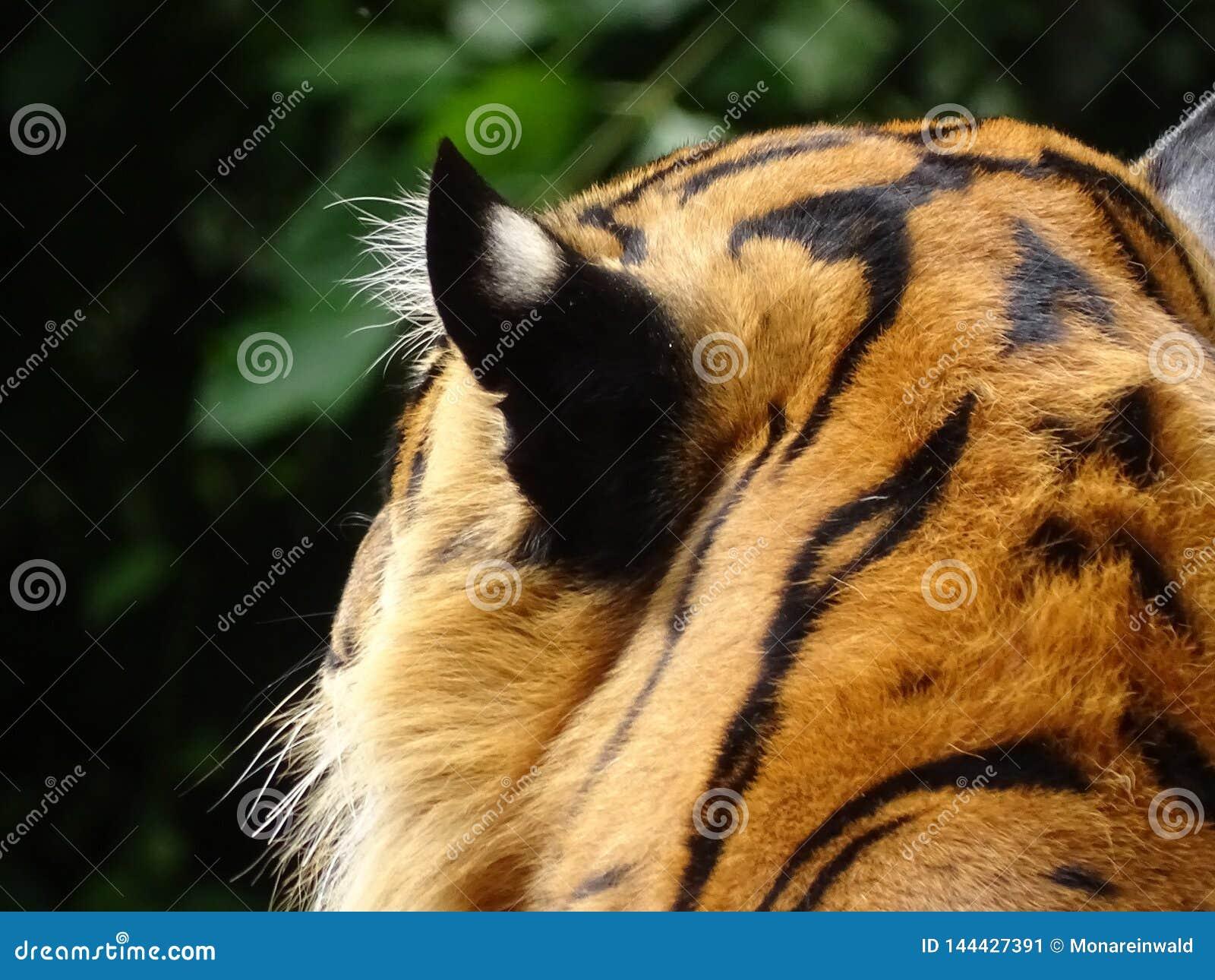 老虎头在动物园里在纽伦堡在德国