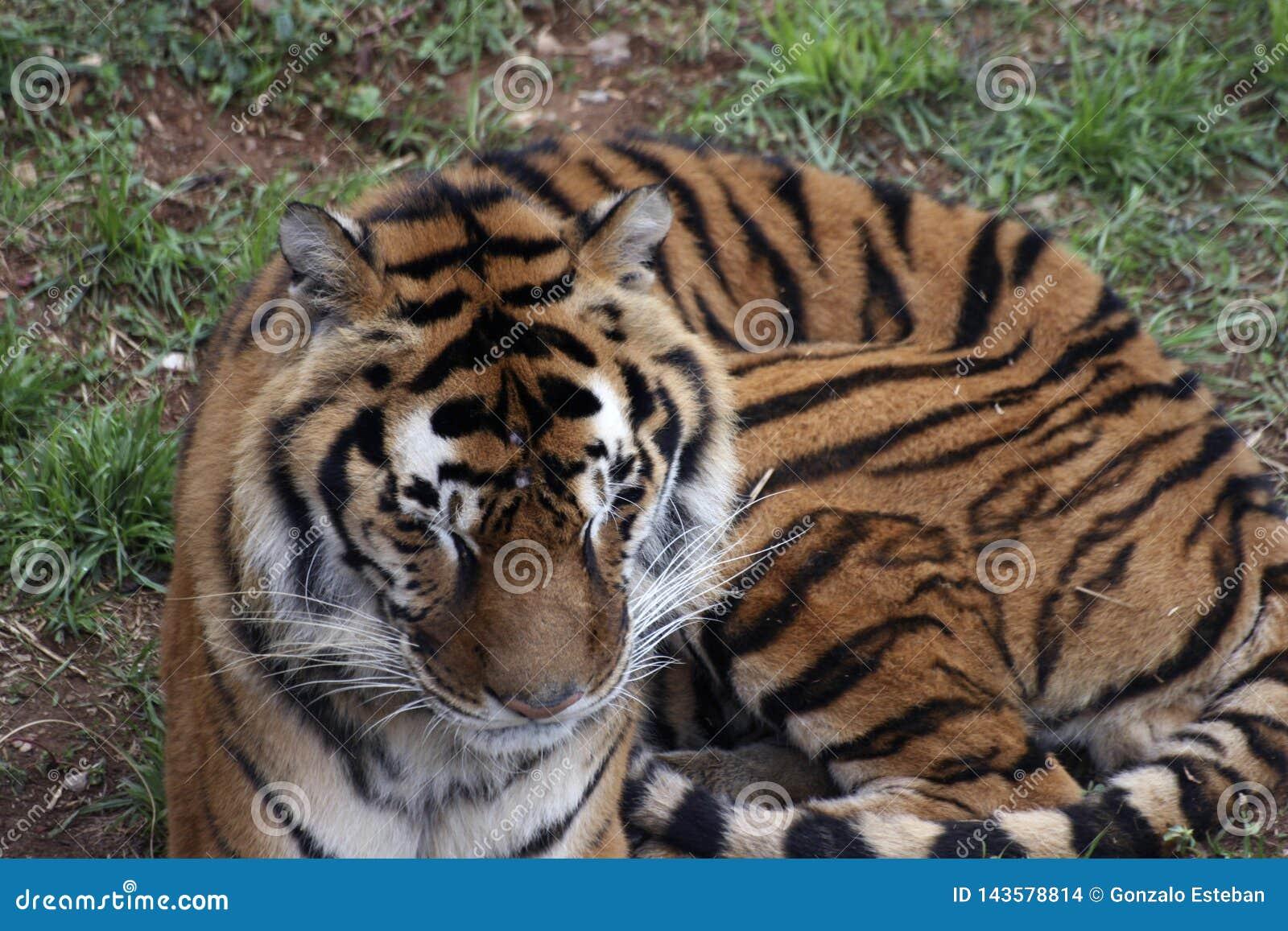 老虎画象在动物园里