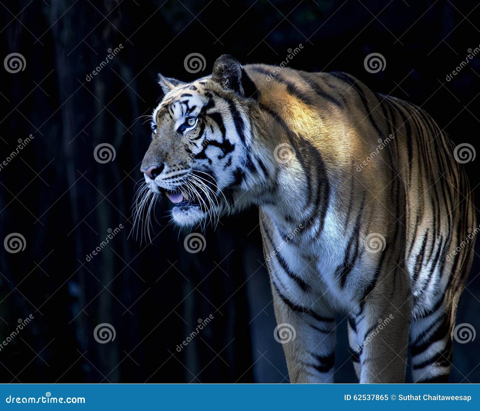 老虎的面孔的中景与孟加拉老虎的光秃的牙的