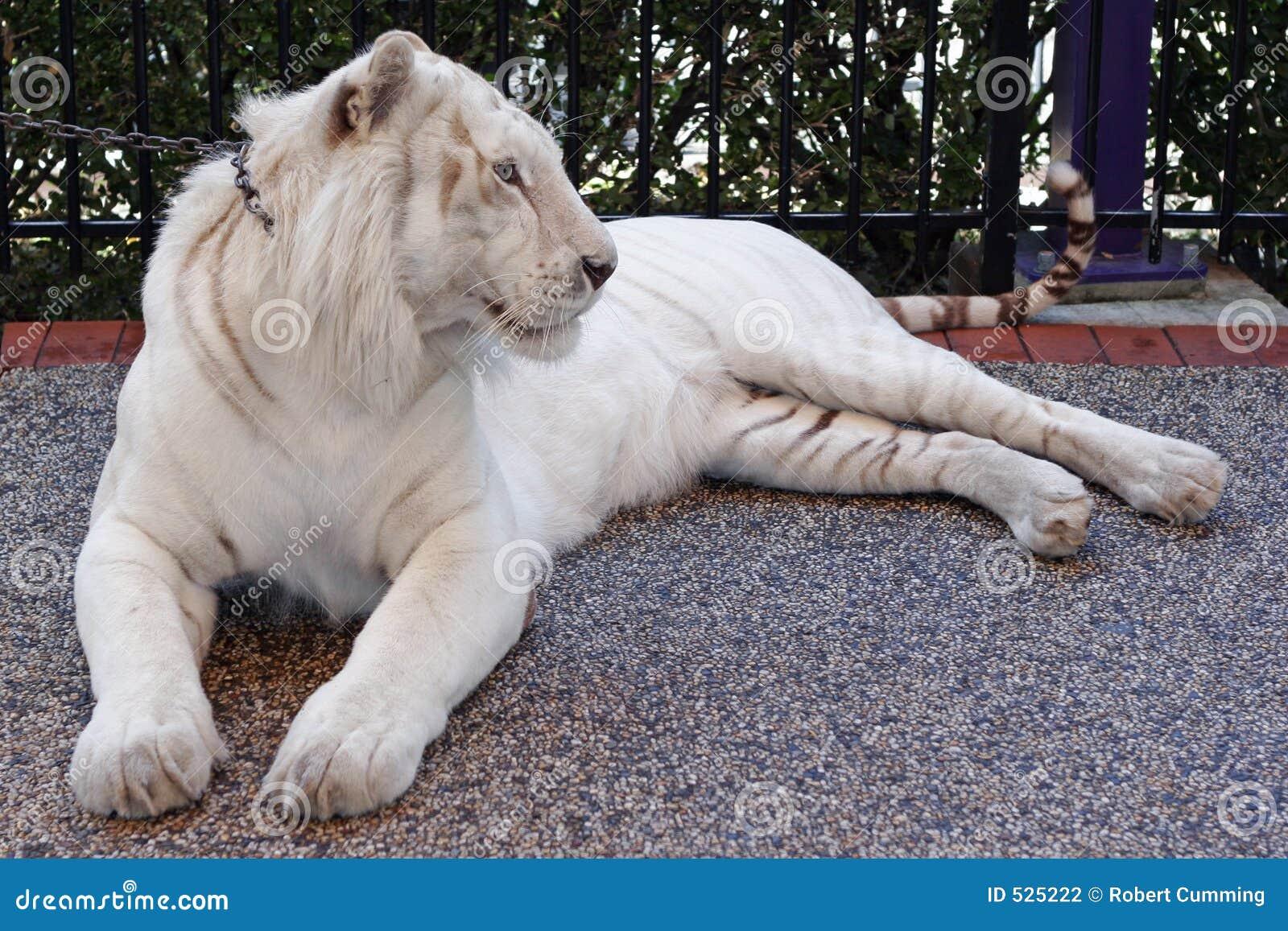 Download 老虎 库存照片. 图片 包括有 俘虏, 野生生物, 下来, 绿色, 凝视, 力量, 白变种, 投反对票, 主街上 - 525222