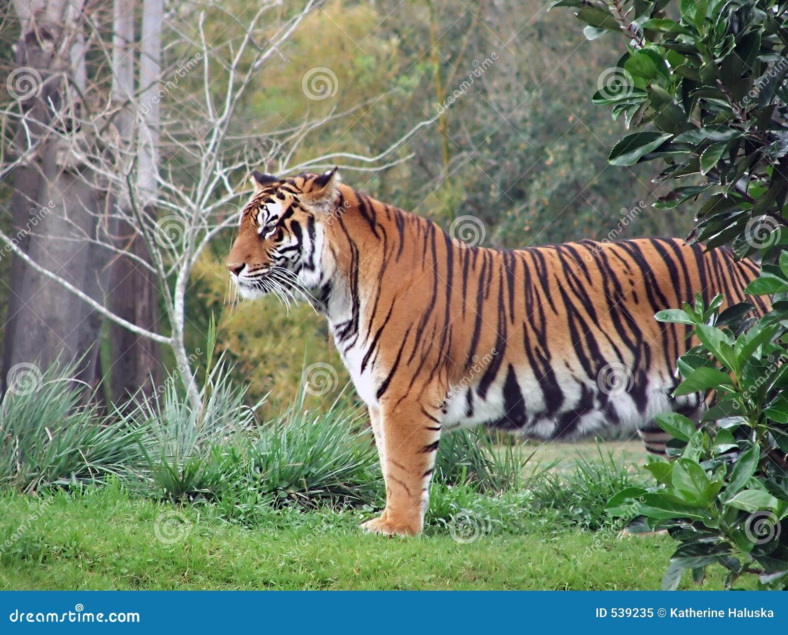 Download 老虎 库存图片. 图片 包括有 次幂, 老虎, 野生生物, 投反对票, 橙色, 似猫, 数据条, 强大, 敌意 - 539235