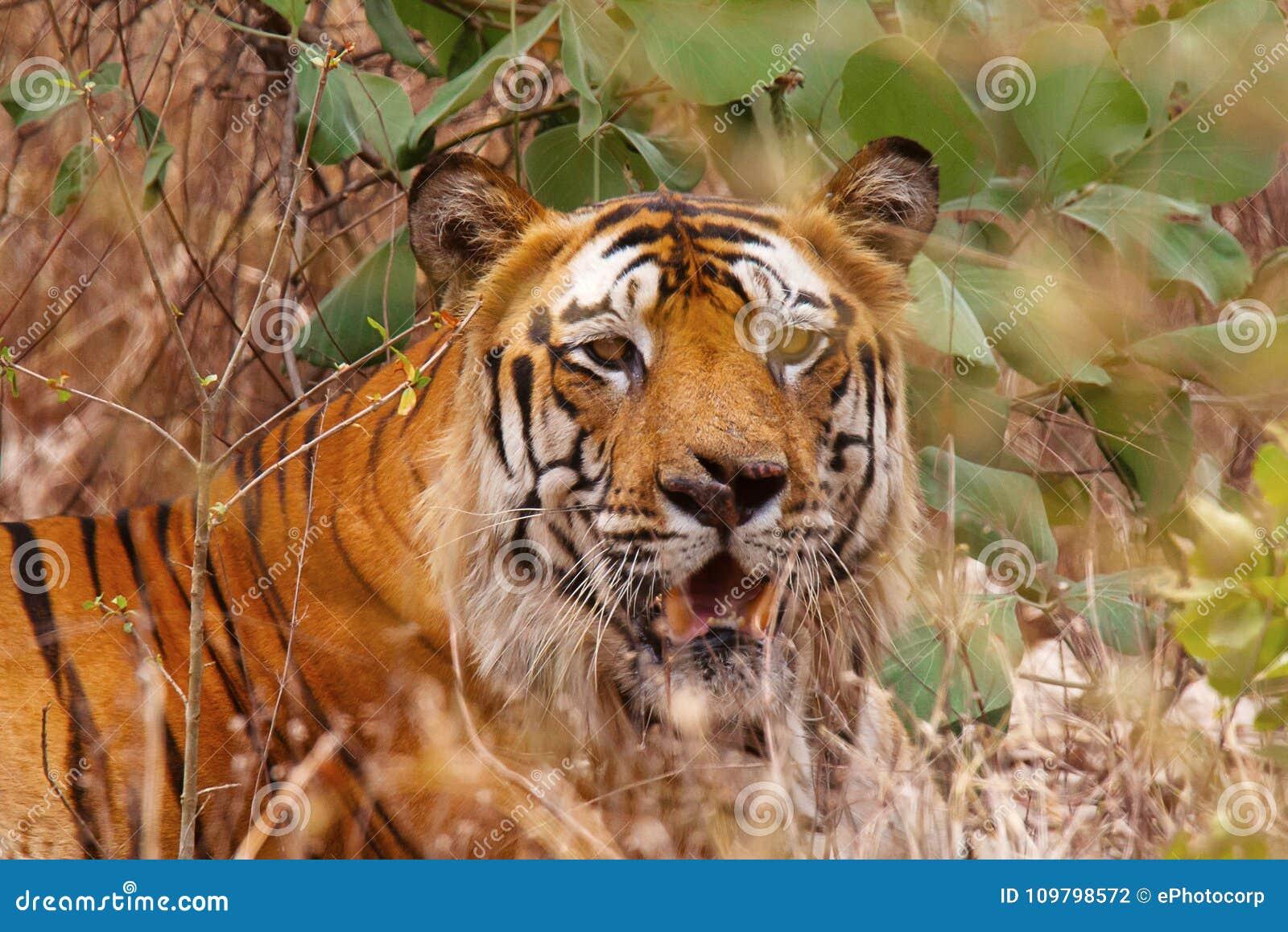 老虎Bamera,豹属底格里斯河, Bandhavgrh老虎储备