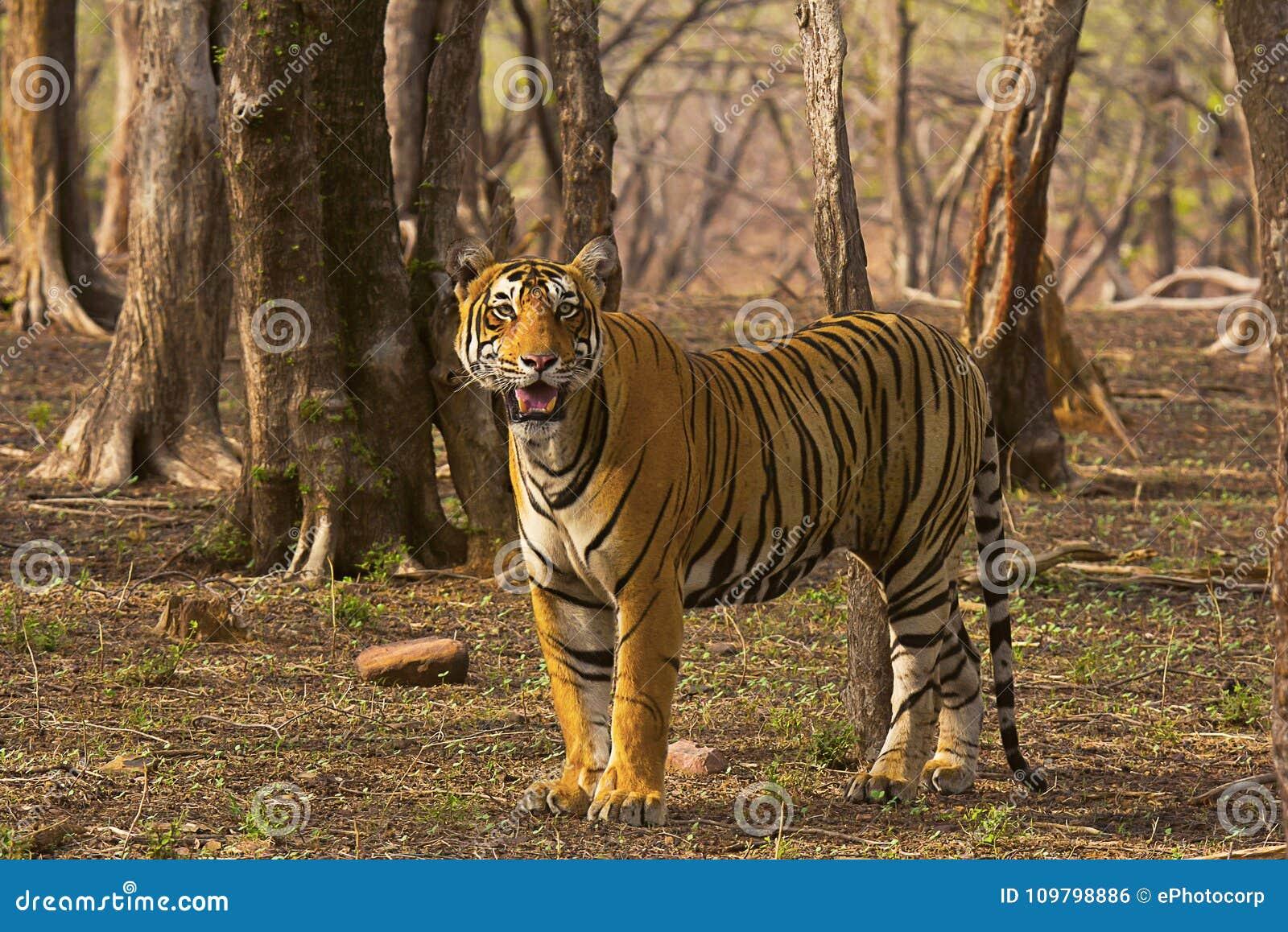 老虎Pacman,豹属底格里斯河, Ranthambhore老虎储备,拉贾斯坦