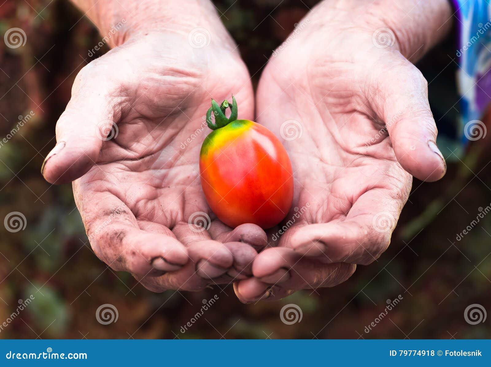 老辛苦手用新近地被收获的蕃茄