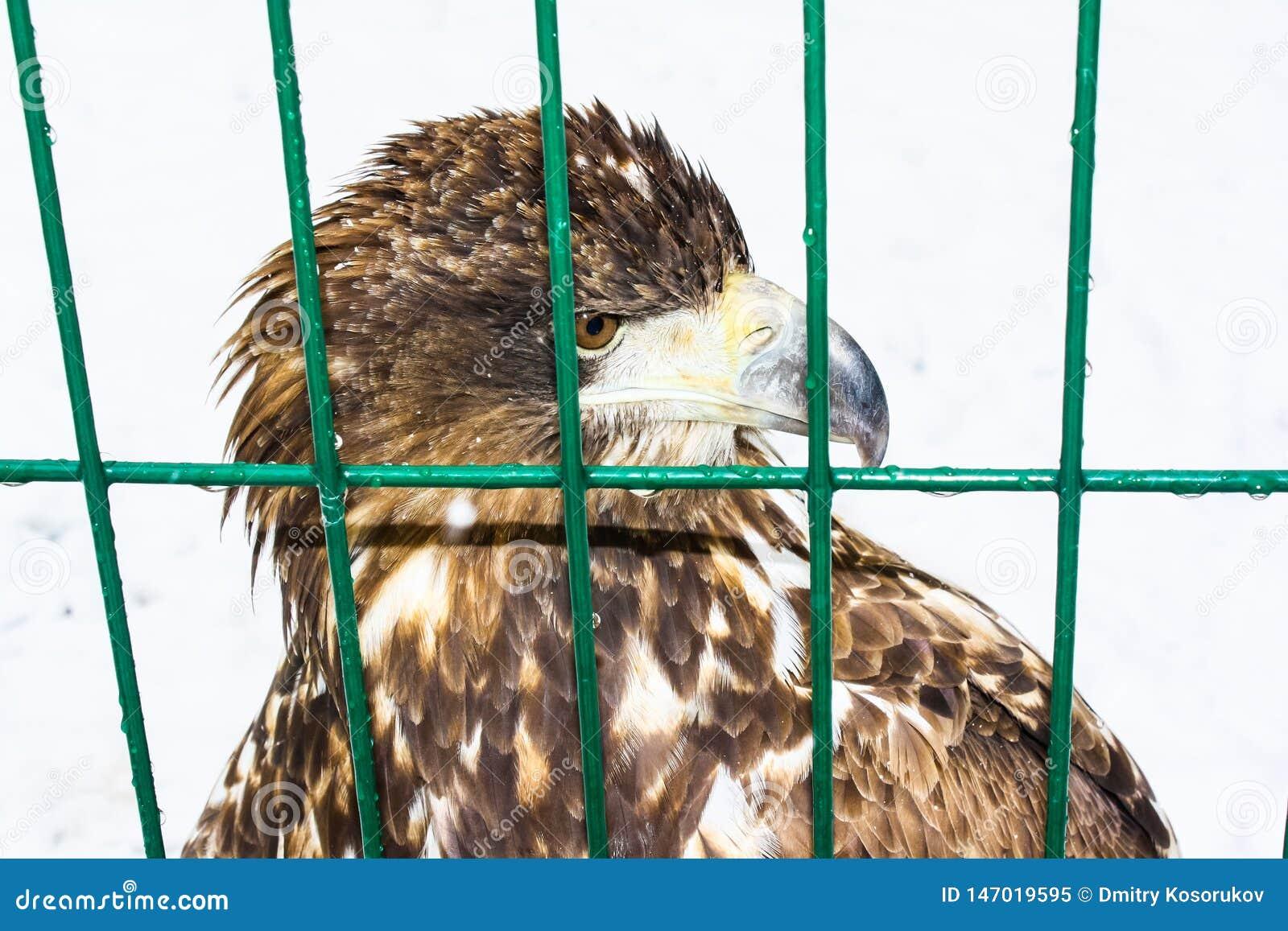 老鹰头关在监牢里动物园的