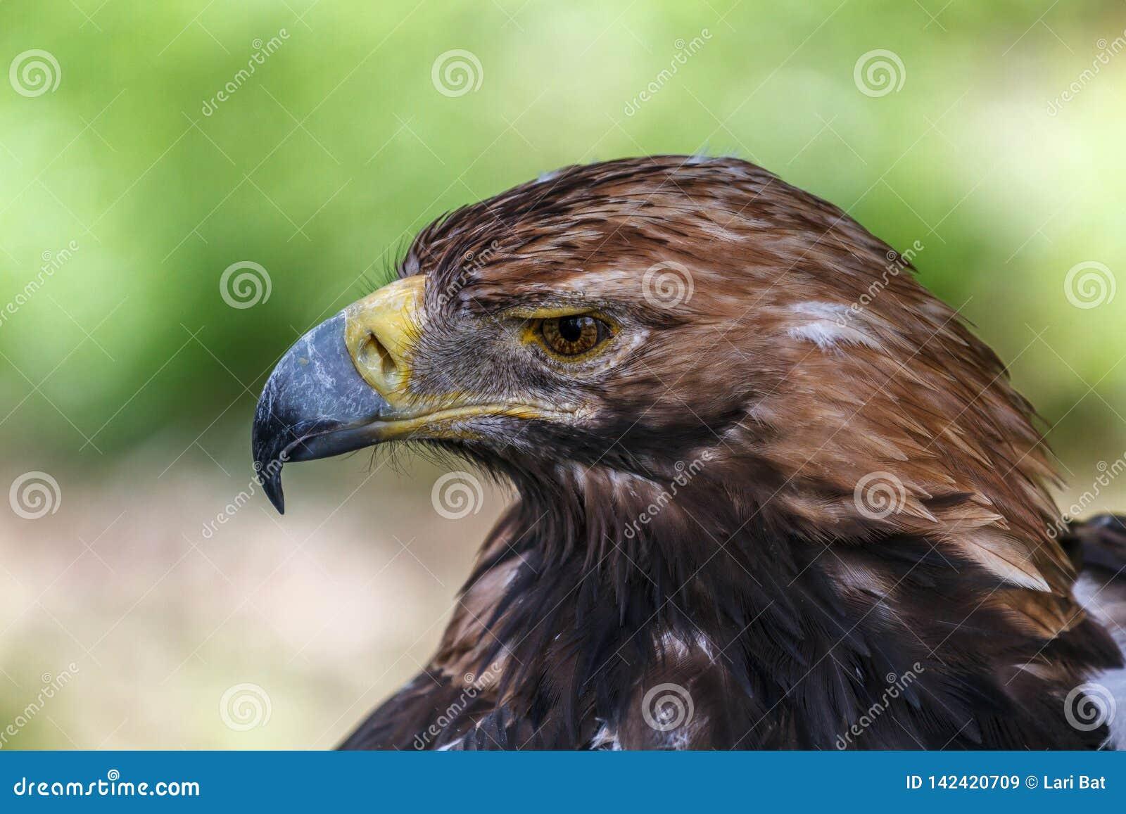老鹰的沉思神色
