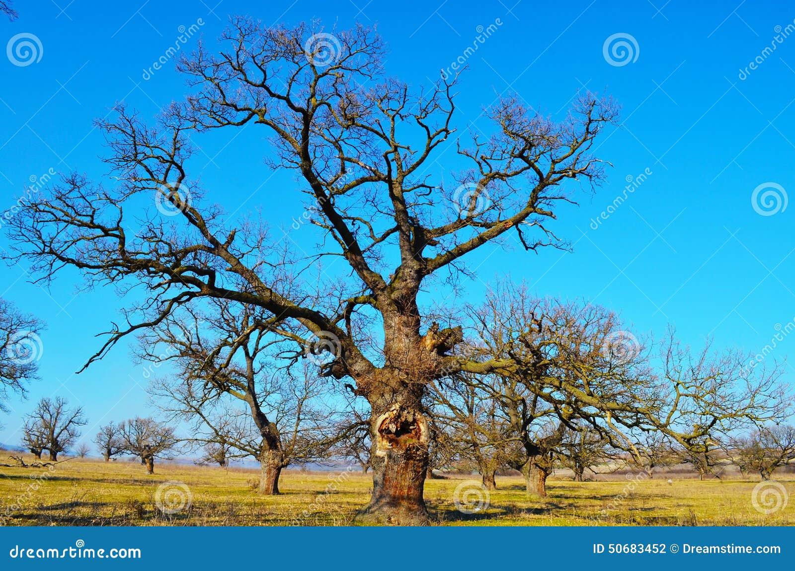 Download 老结构树 库存照片. 图片 包括有 装饰, 庭院, beautifuler, 世纪, 镇痛药, 树丛, 环境 - 50683452