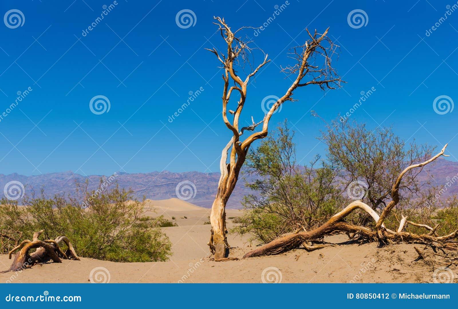 死者打结了树在豆科灌木平的沙丘,加利福尼亚,美国