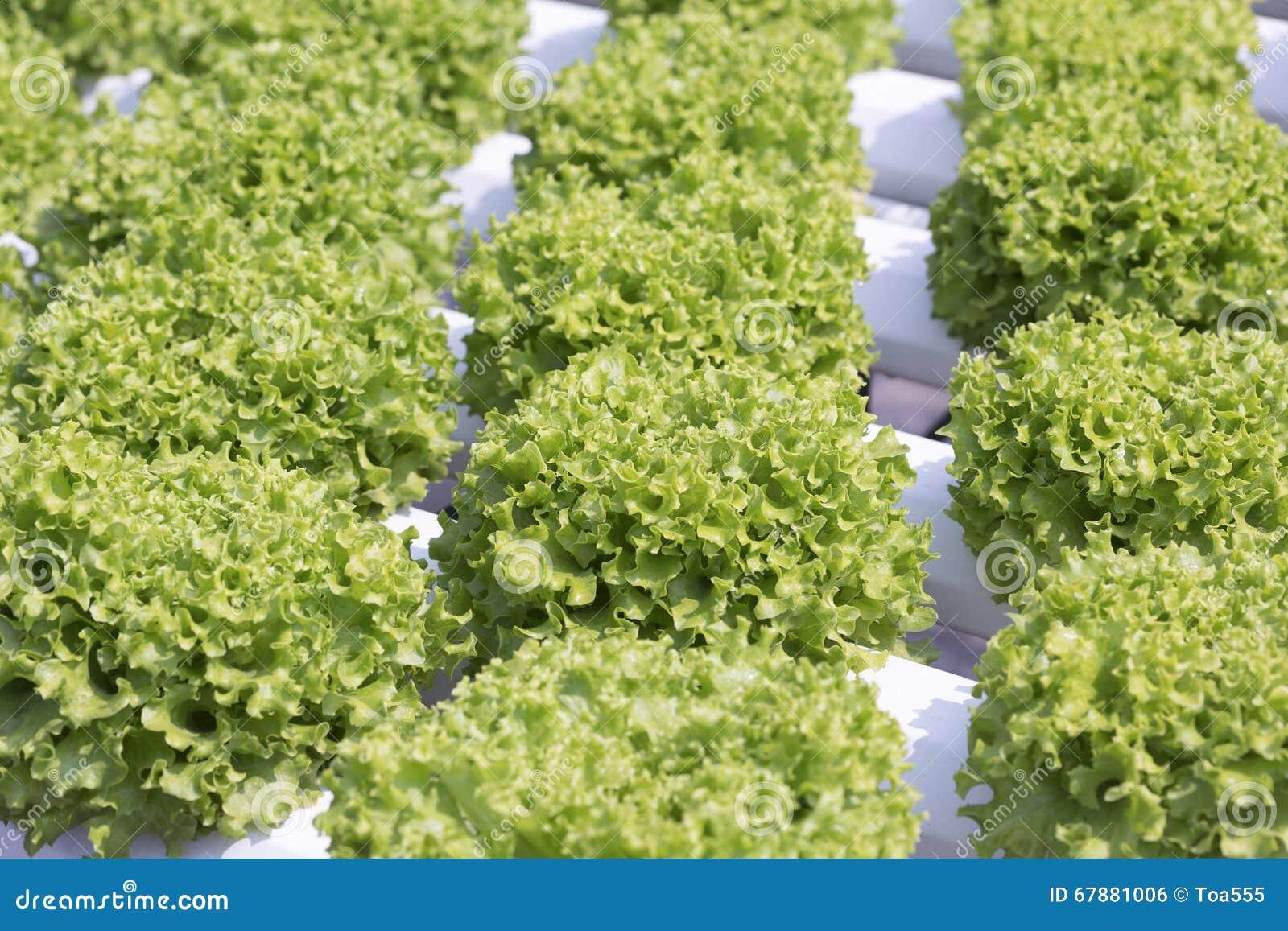 水耕的莴苣