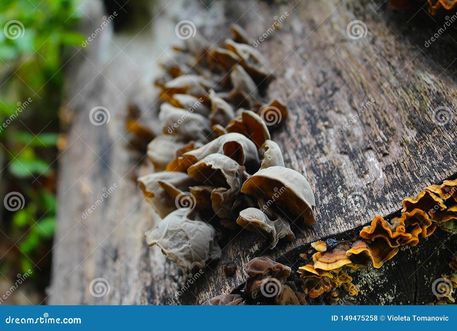 耳状幼虫耳状报春花judae,叫作犹太人的耳朵,木耳朵,在蜂房的果冻耳朵,可食的蘑菇,宏观摄影
