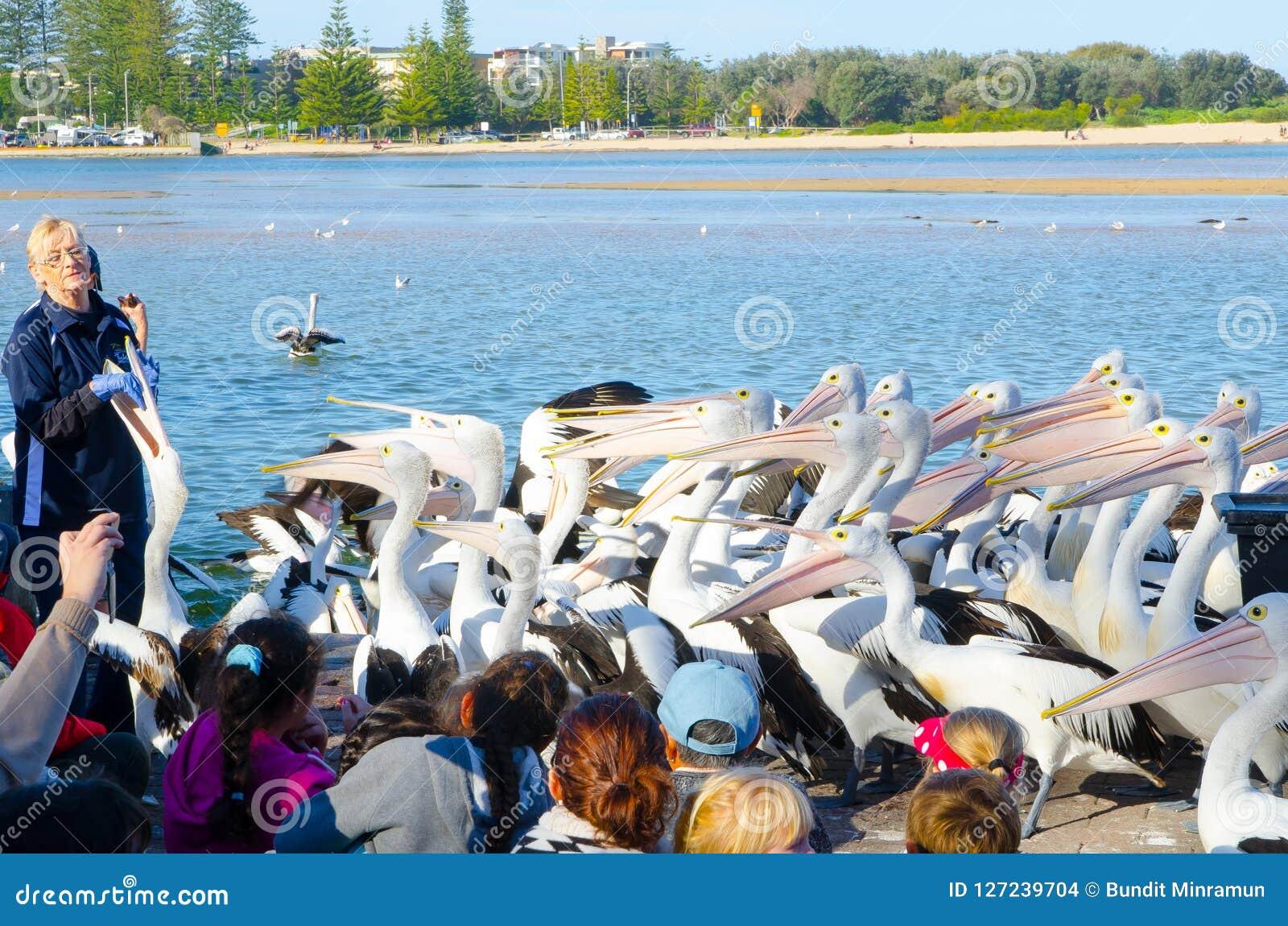 职员显示如何在入口的岸附近喂养一百鹈鹕鸟