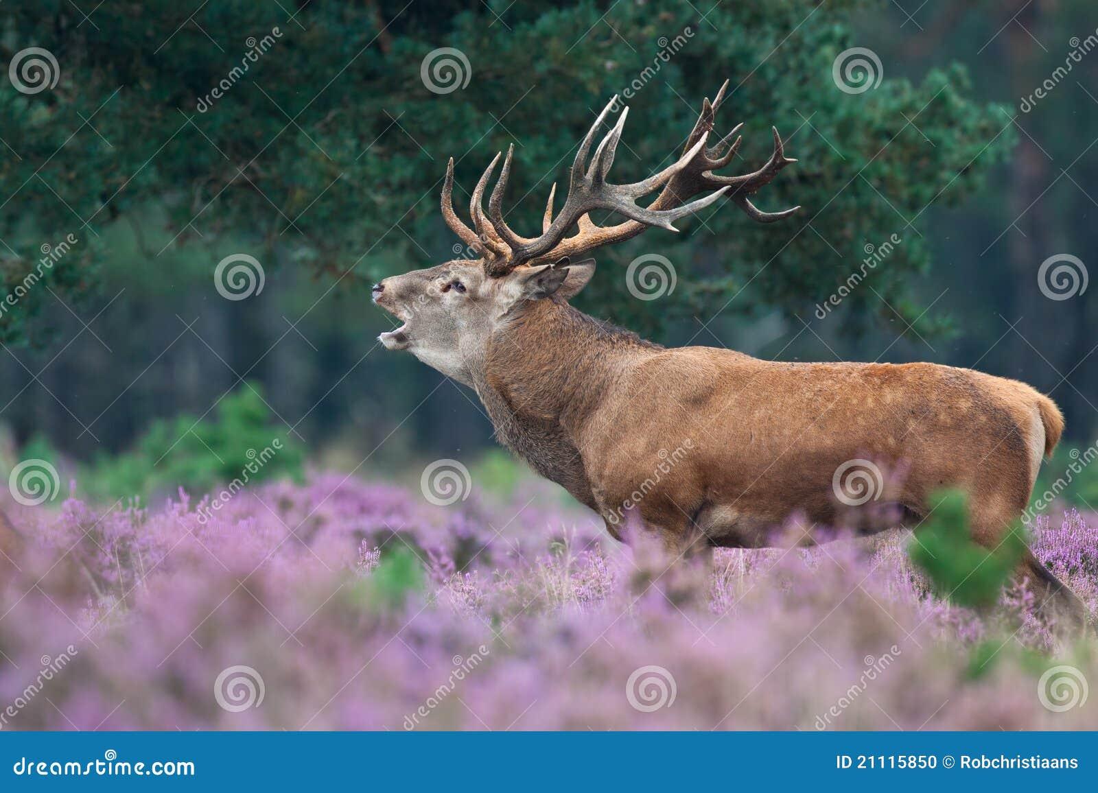联接红色季节的鹿