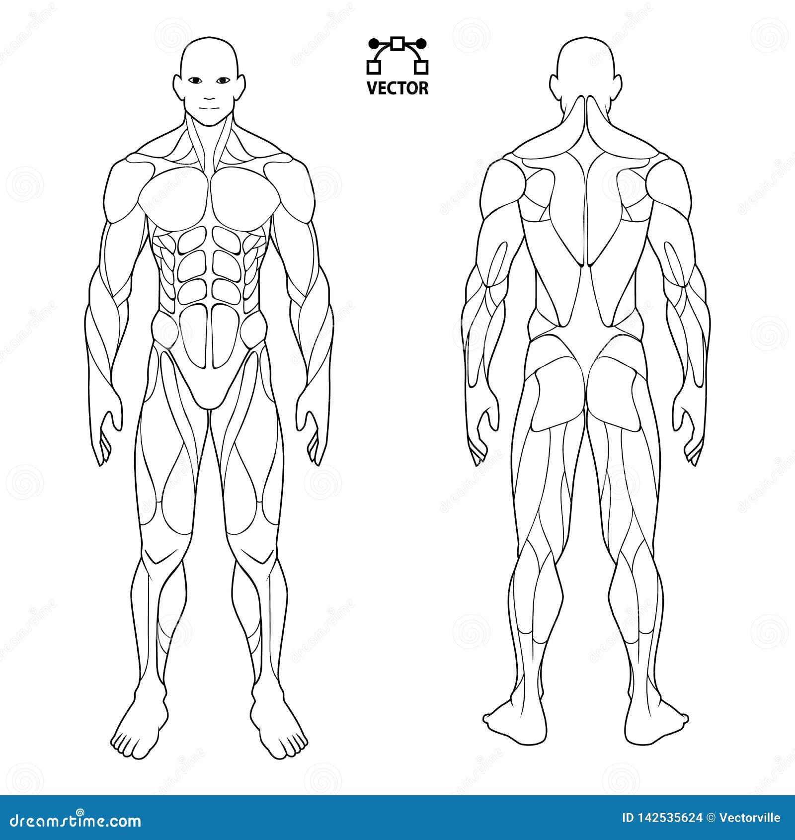肌肉人体解剖学男性人,前面和后面肌肉系统  训练医疗保健健身房平的医疗计划海报,