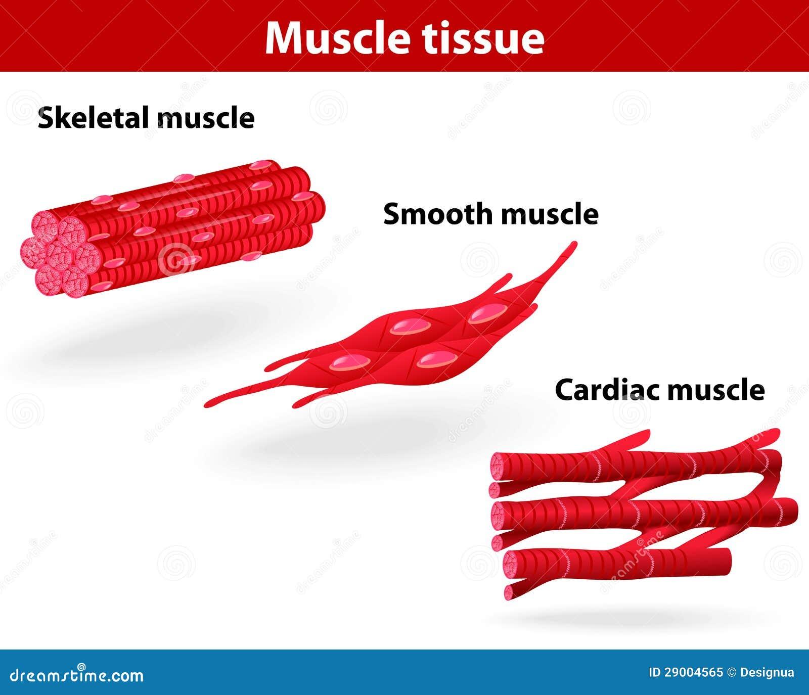 肌肉组织的类型