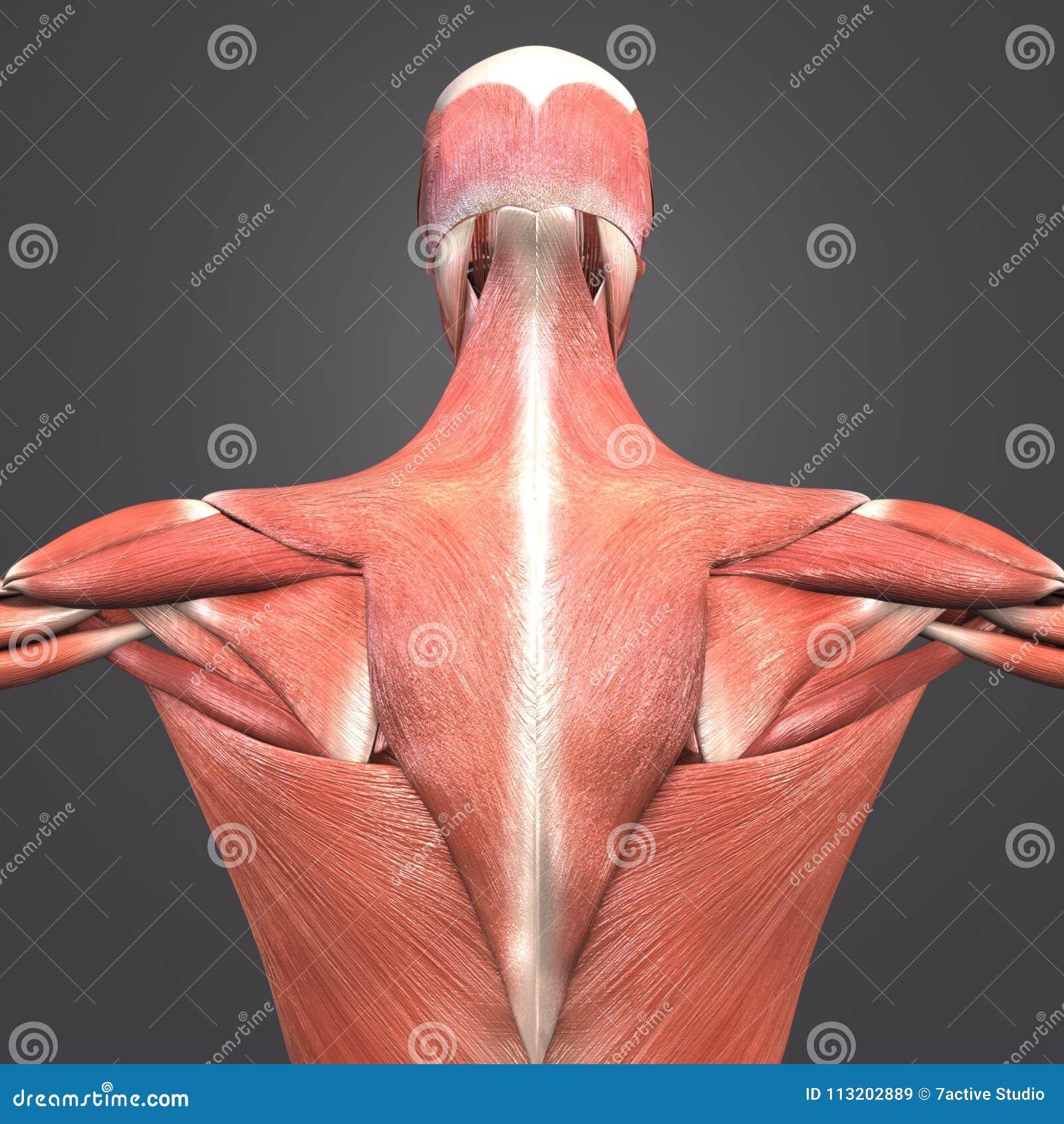 肌肉解剖学后部视图