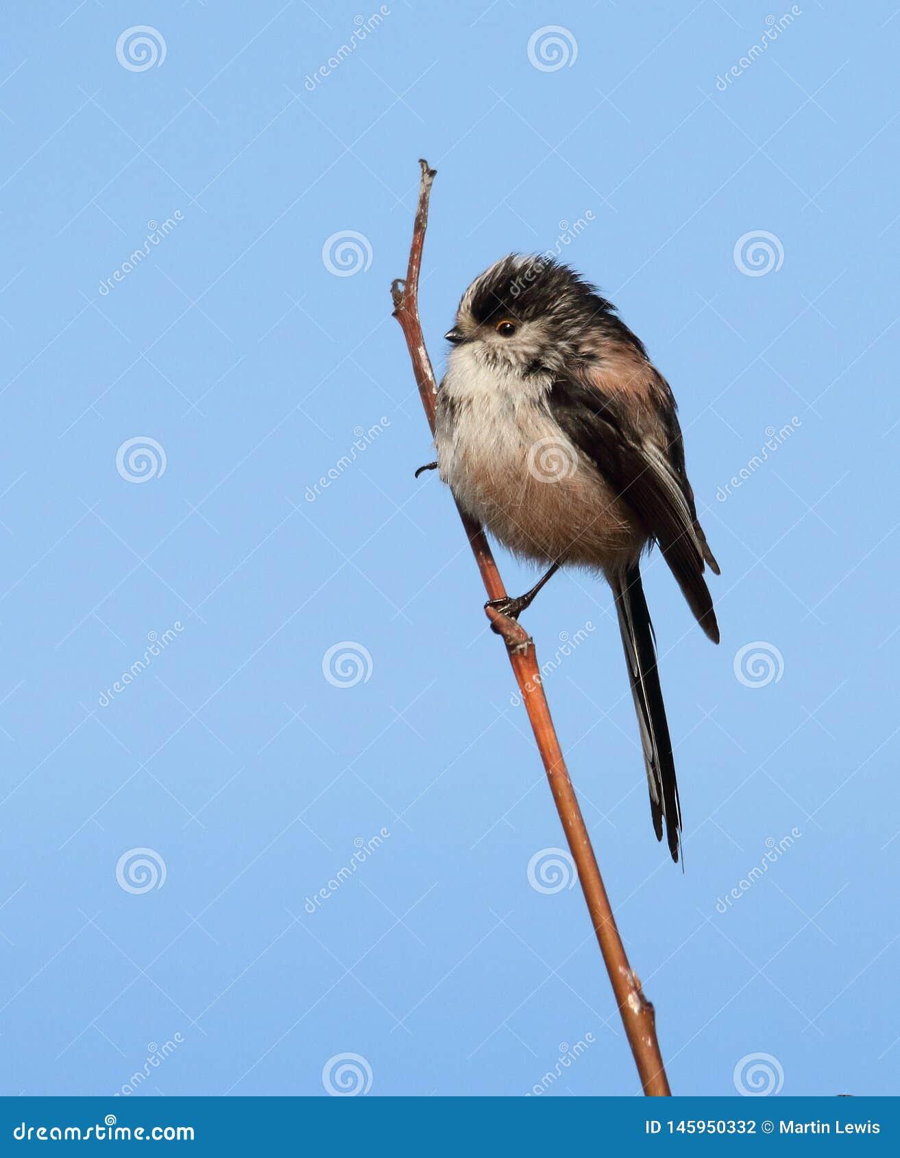 肥满长尾的山雀