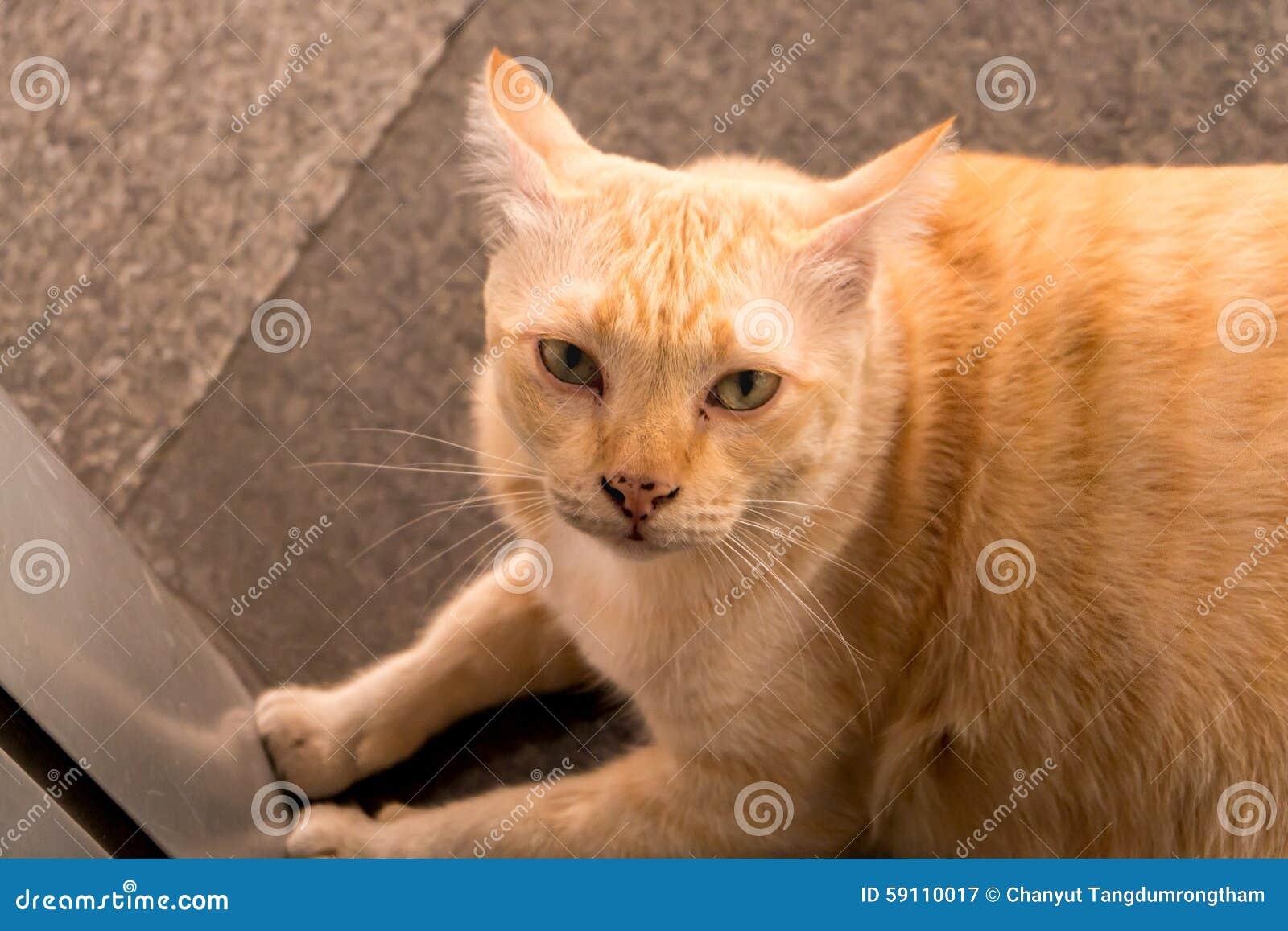 肥胖黄色猫