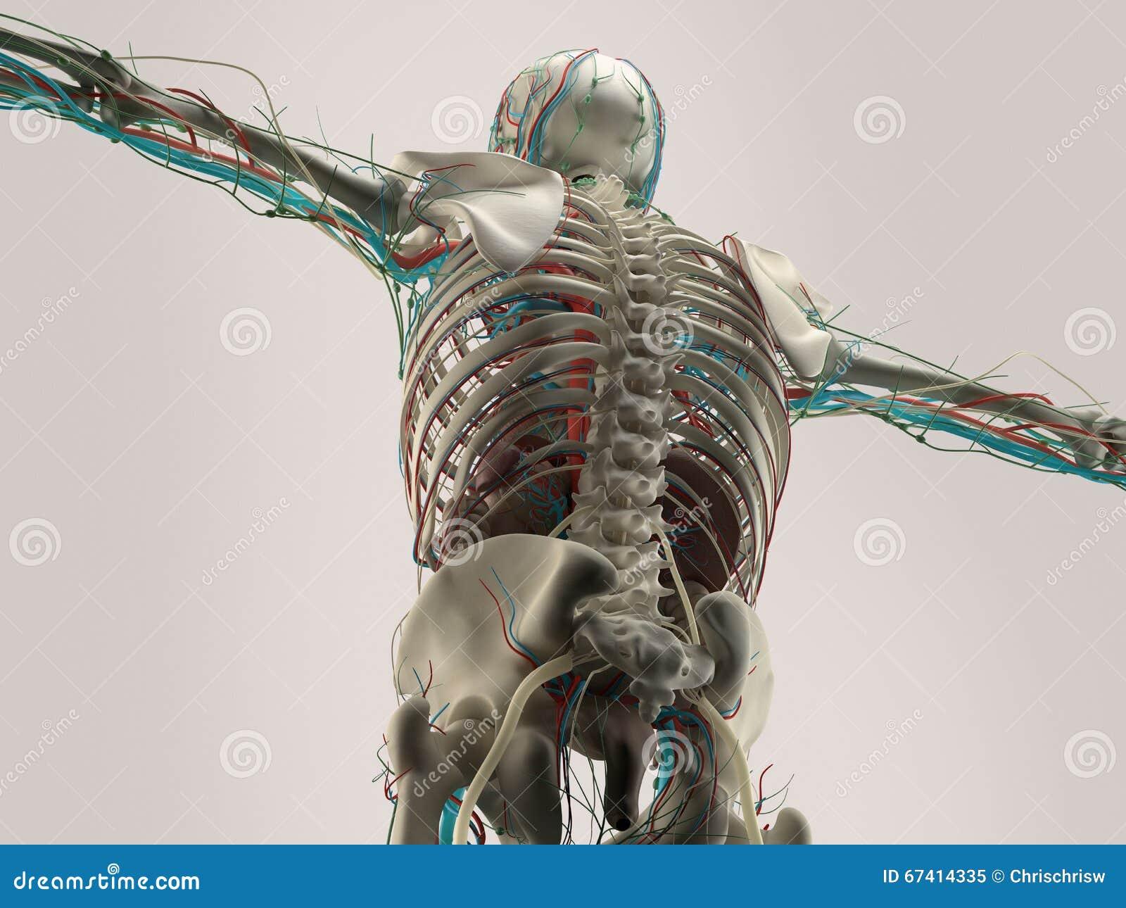 肩膀人的解剖学细节  在简单的演播室背景的骨头结构 后面,脊椎人的解剖学细节  肌肉 在简单的s