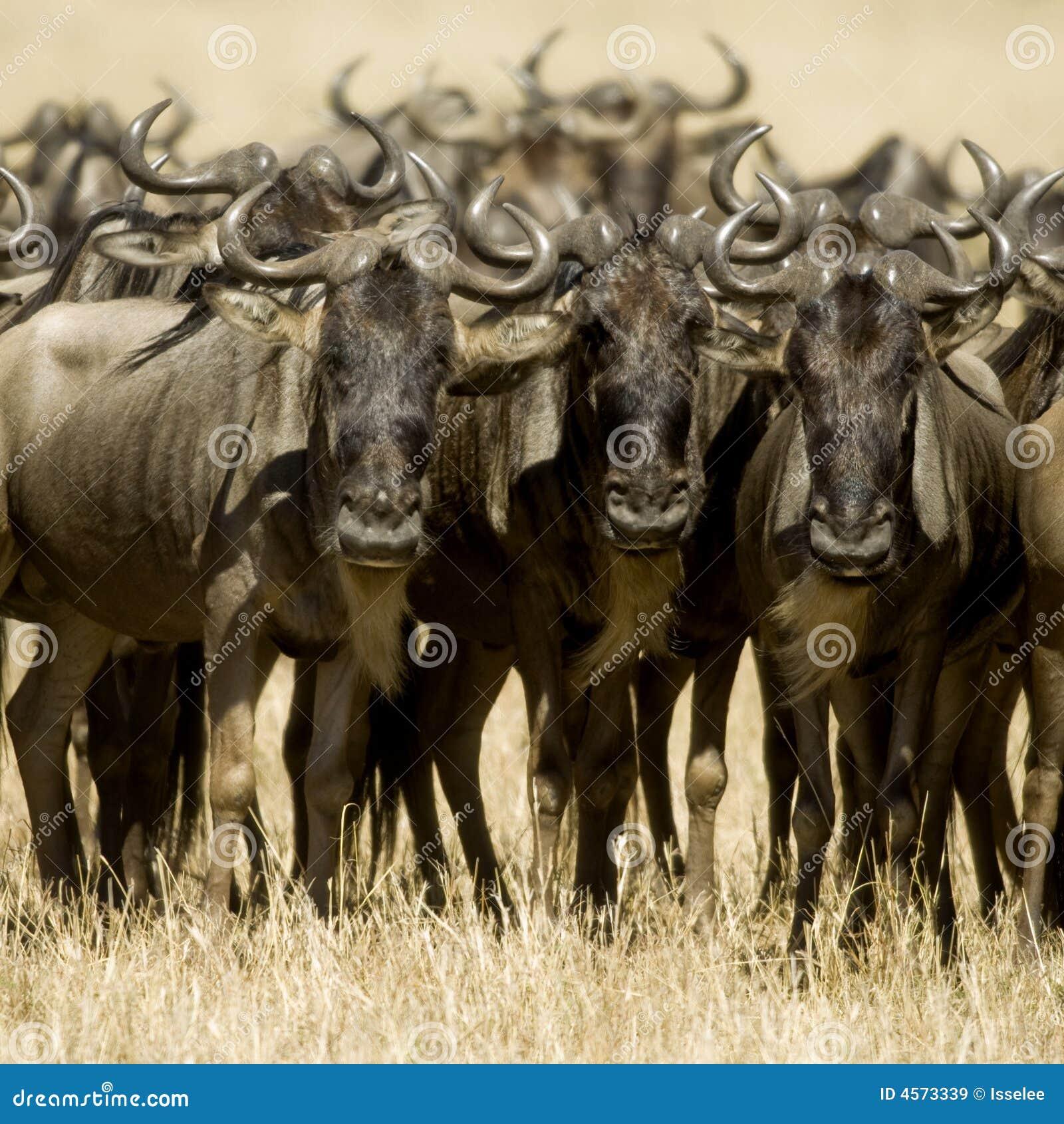 肯尼亚mara马塞人角马