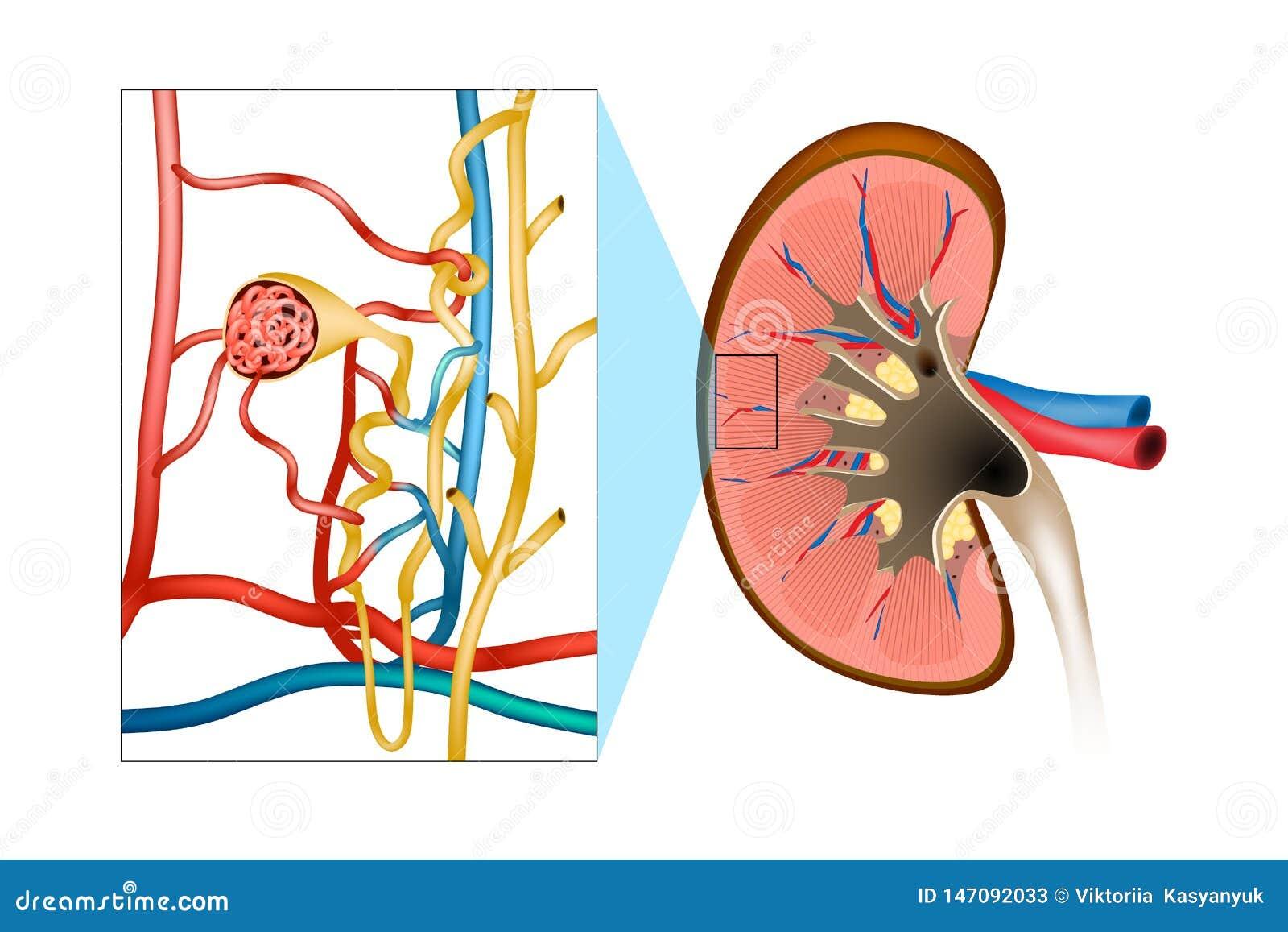 肾小球性肾炎GN