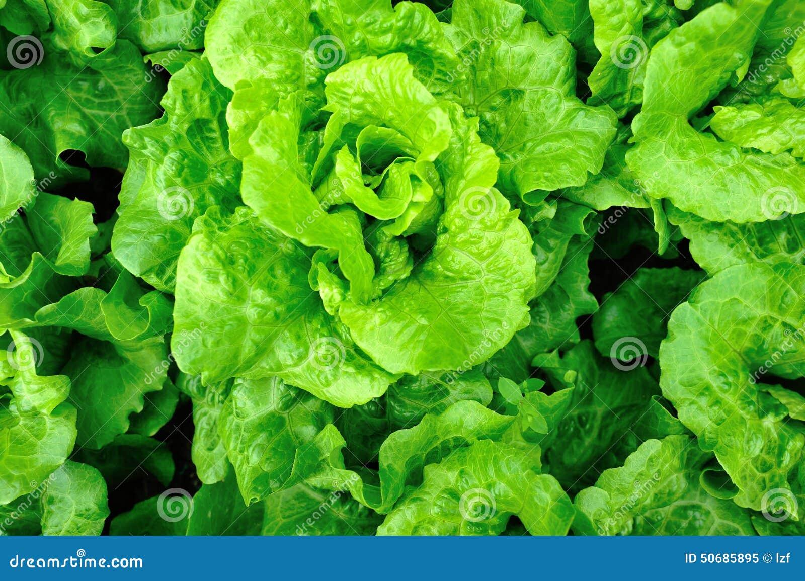 Download 背景域绿色莴苣 库存图片. 图片 包括有 室外, 本质, 蔬菜, 叶子, 新鲜, 下落, 有机, 庭院, 印第安语 - 50685895