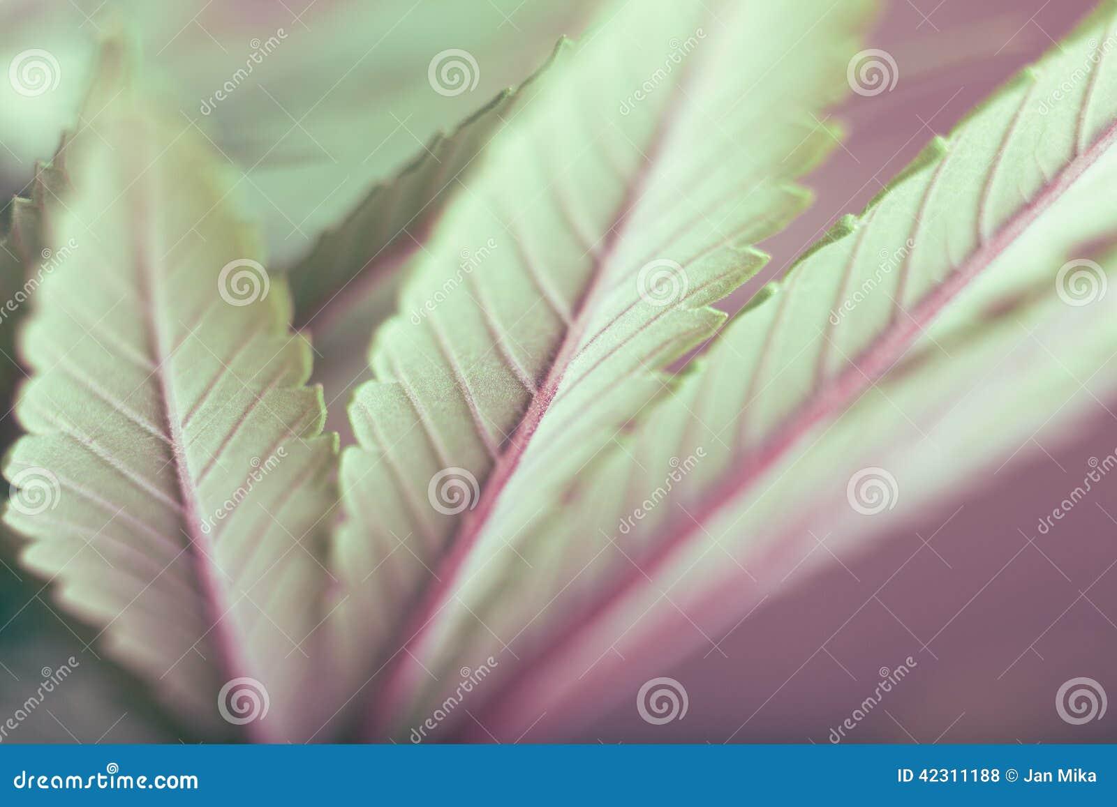 背景大麻选择查出的叶子做白色您