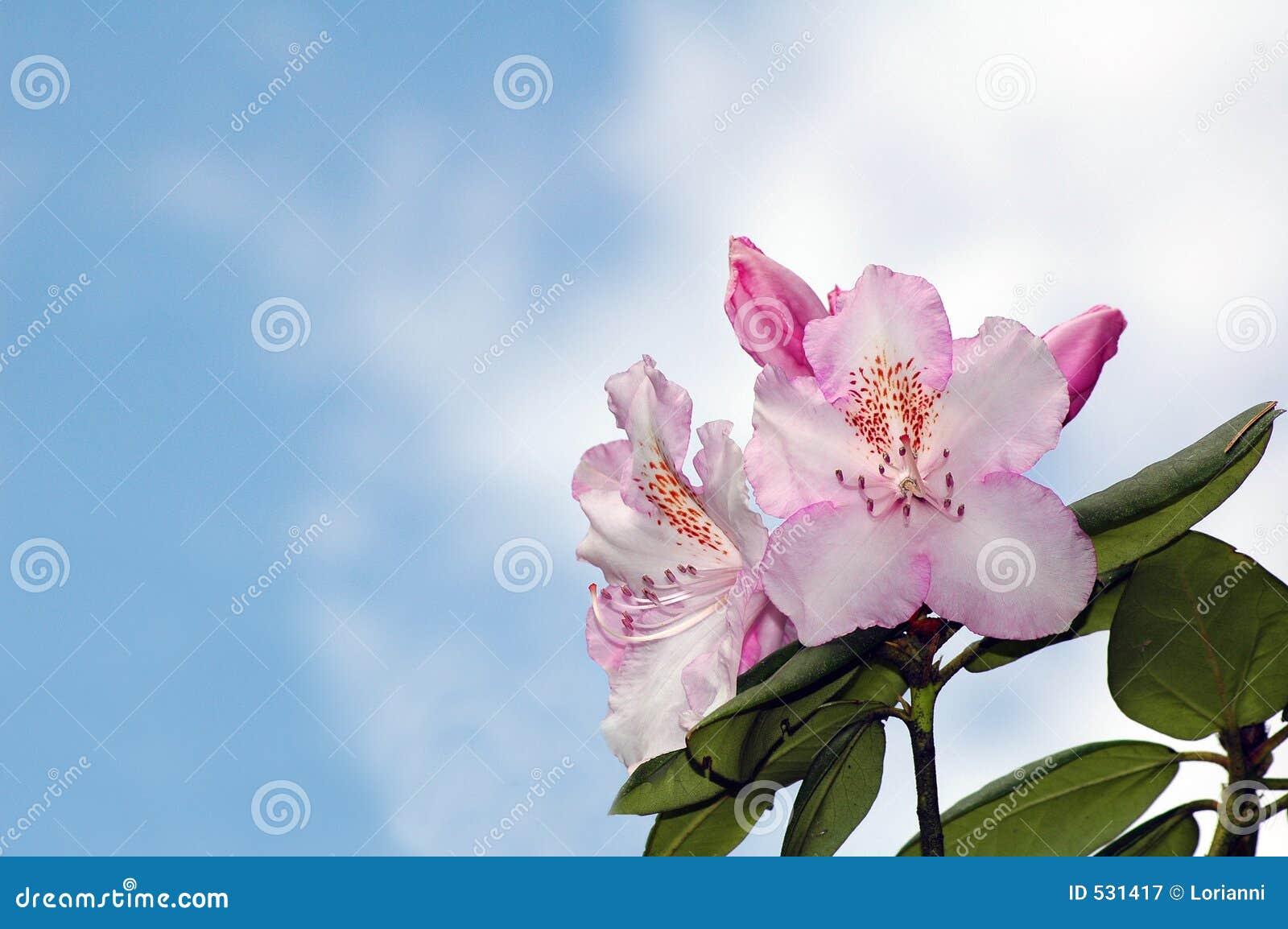 Download 背景开花天空 库存图片. 图片 包括有 本质, 粉红色, 蓝色, 庭院, 天空, 春天, 叶子, 工厂, 结构树 - 531417