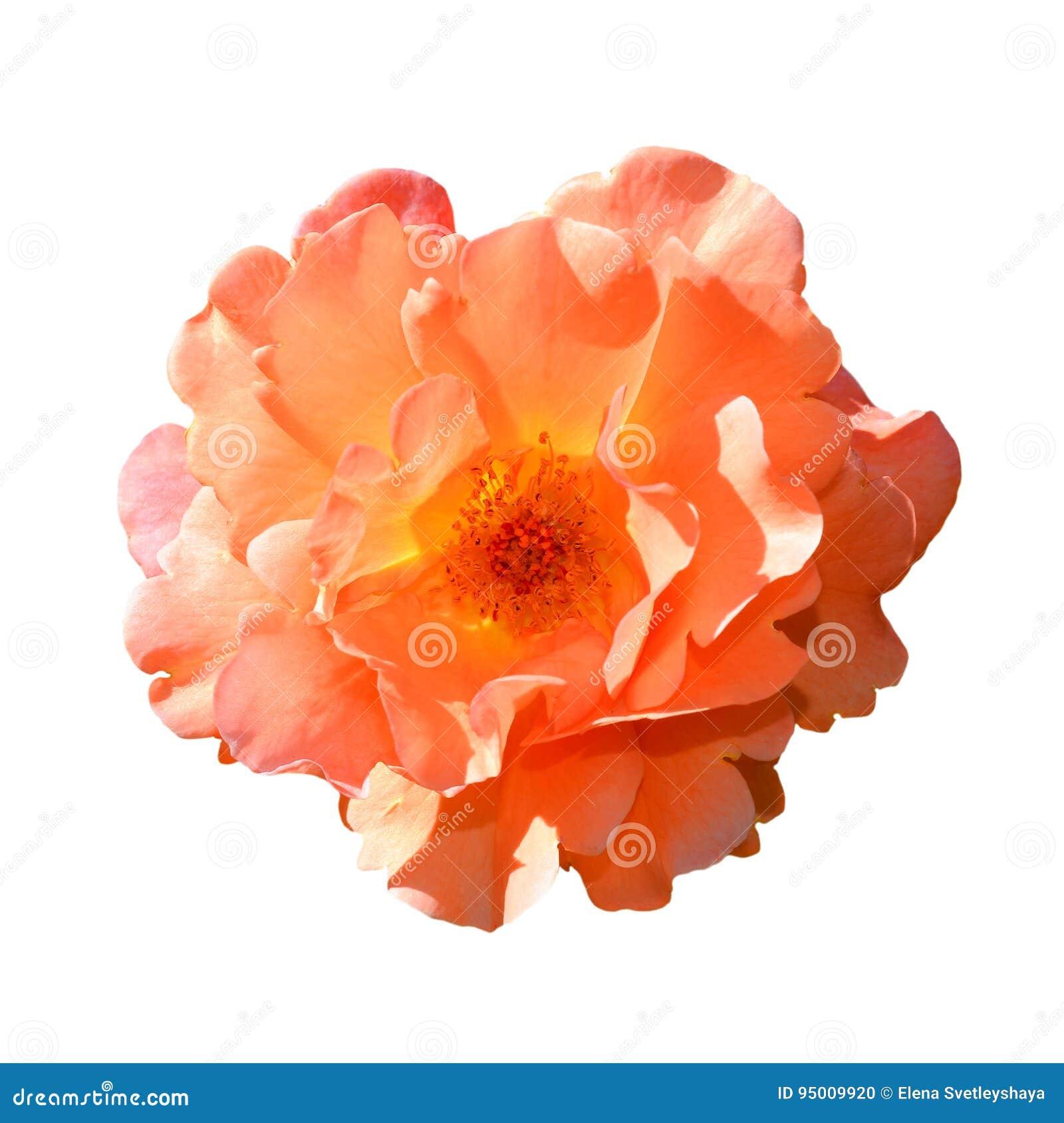 背景查出的玫瑰白色 充分地打开在白色背景隔绝的柔和的桃红色玫瑰头状花序