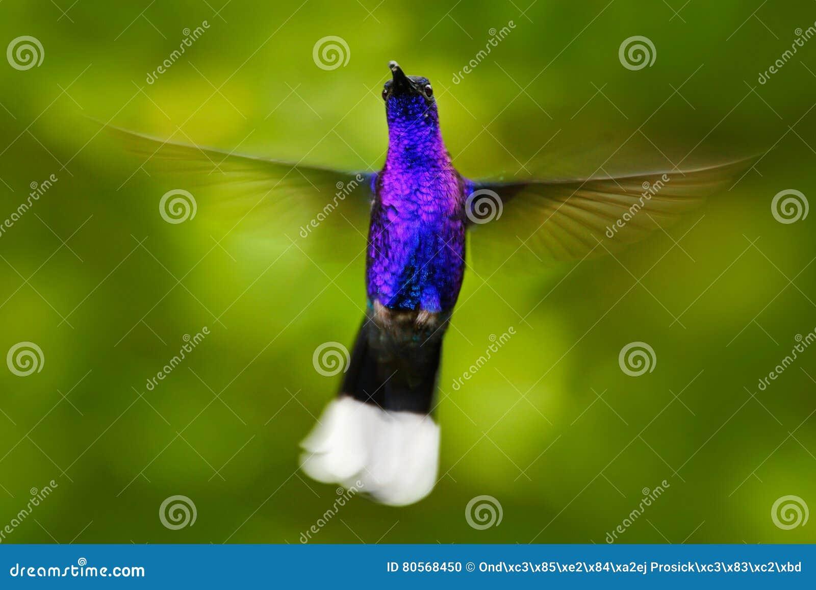 背景母牛表面湖夏天视图 飞行的大蓝色蜂鸟紫罗兰色Sabrewing有被弄脏的绿色背景 在飞行的蜂鸟 飞行蜂鸟 放射性族