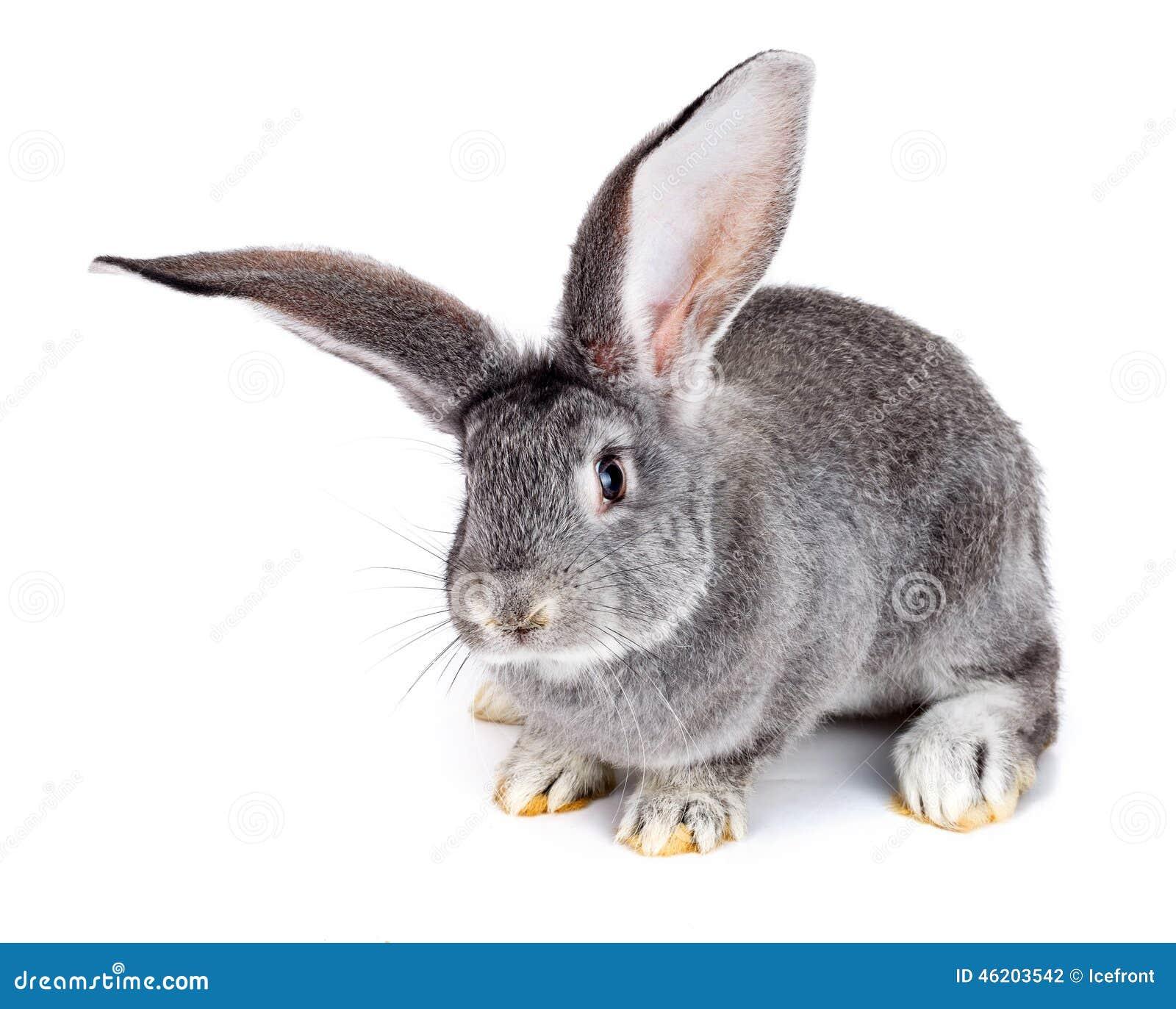背景灰色兔子白色