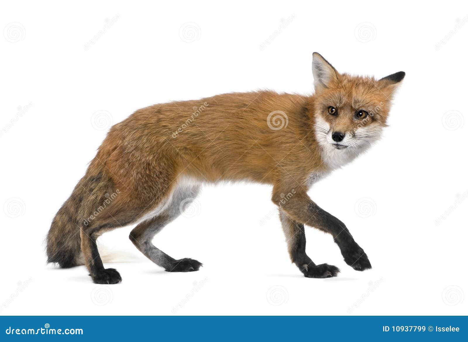 背景狐狸红色走的白色