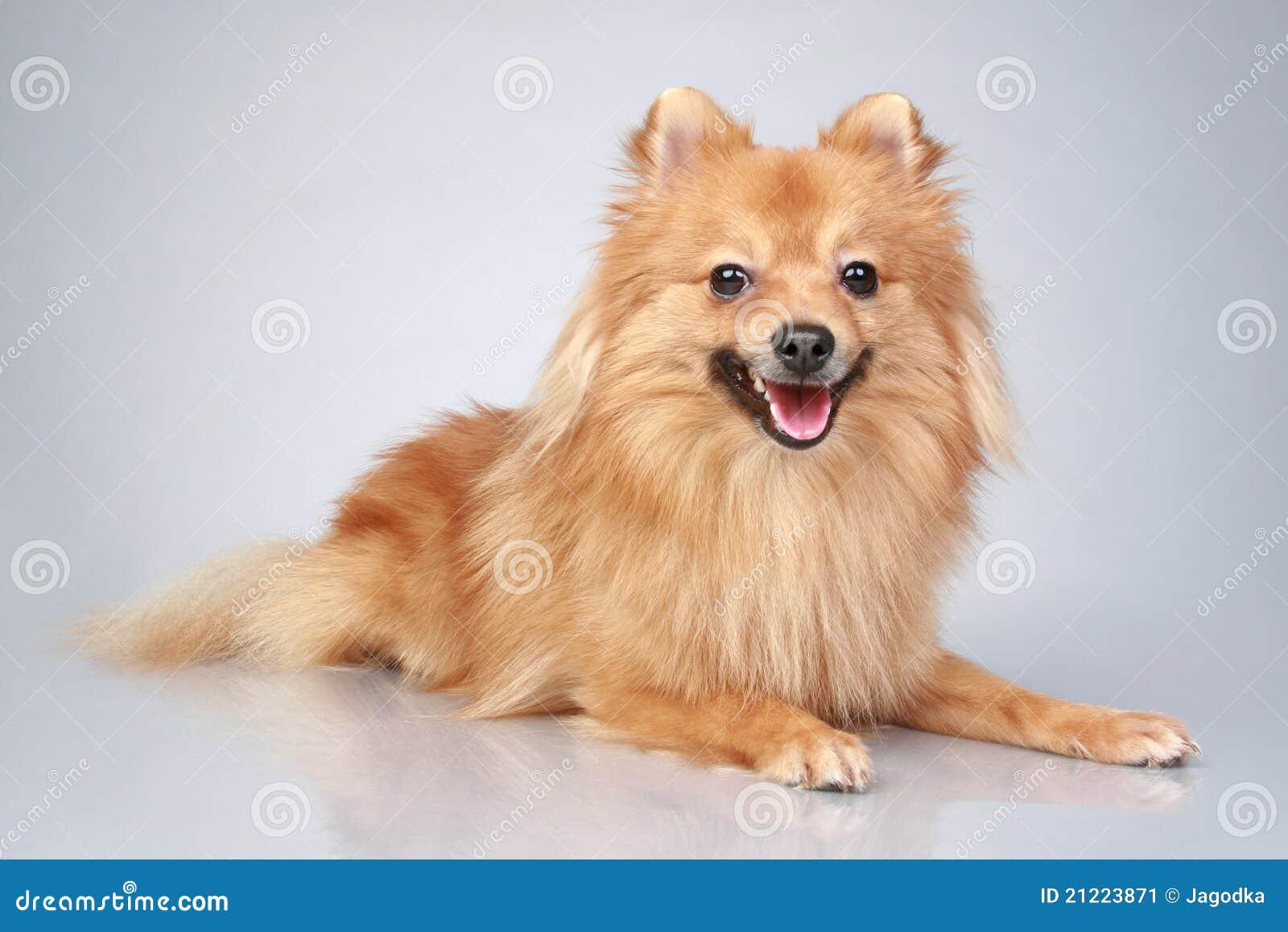 背景狗德国灰色波美丝毛狗