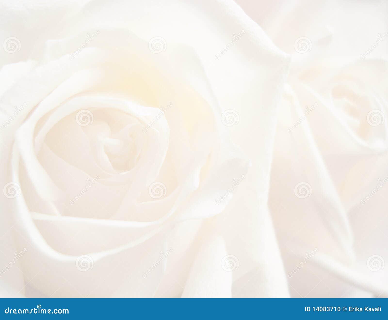 背景玫瑰白色