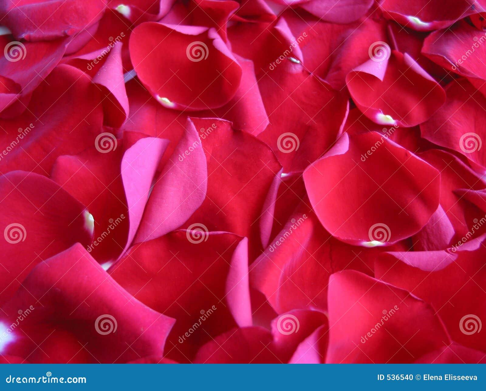 Download 背景瓣红色上升了 库存照片. 图片 包括有 bossies, 本质, 虚拟, 红色, 妇女, 母亲, 粉红色 - 536540
