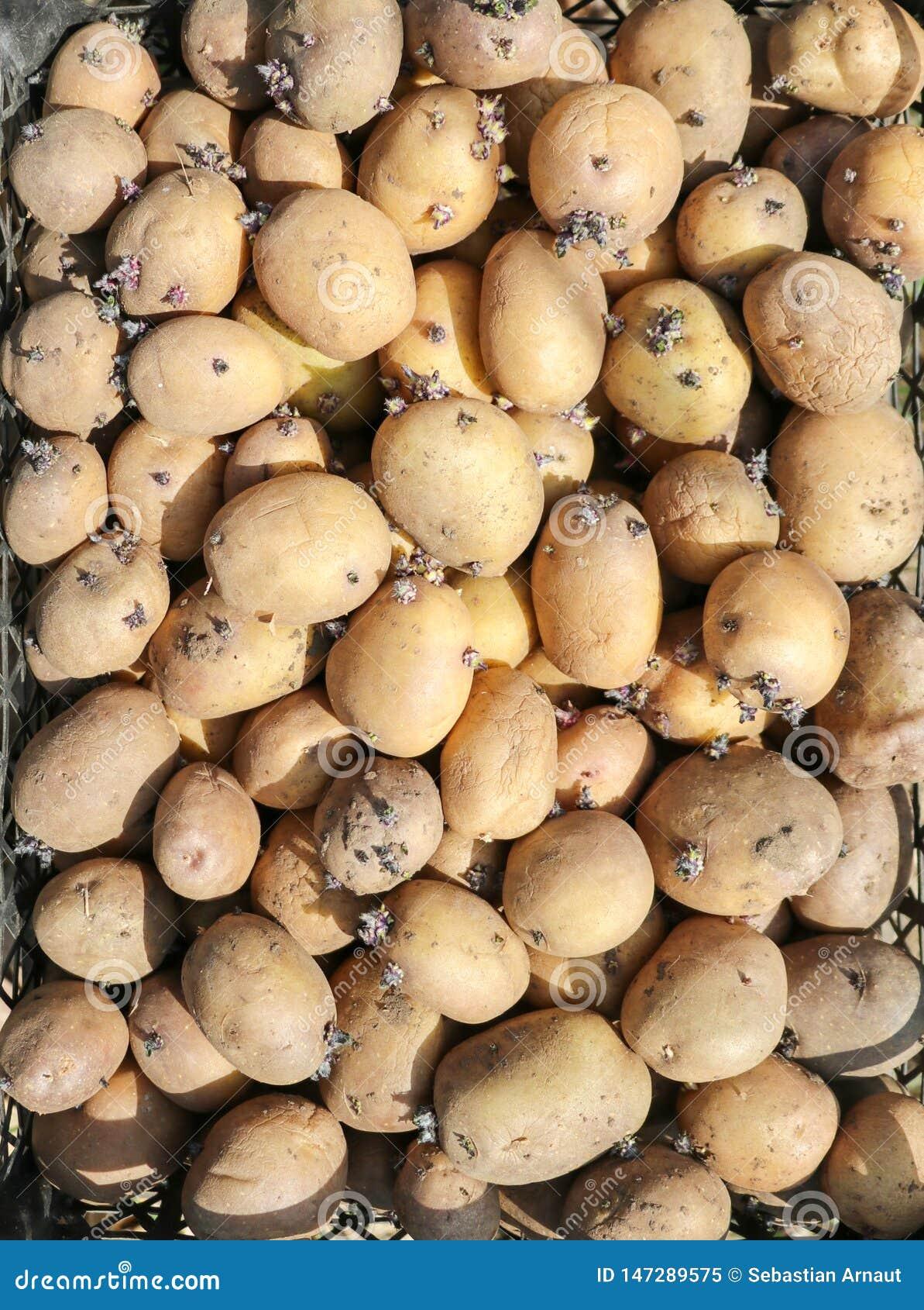 背景用土豆