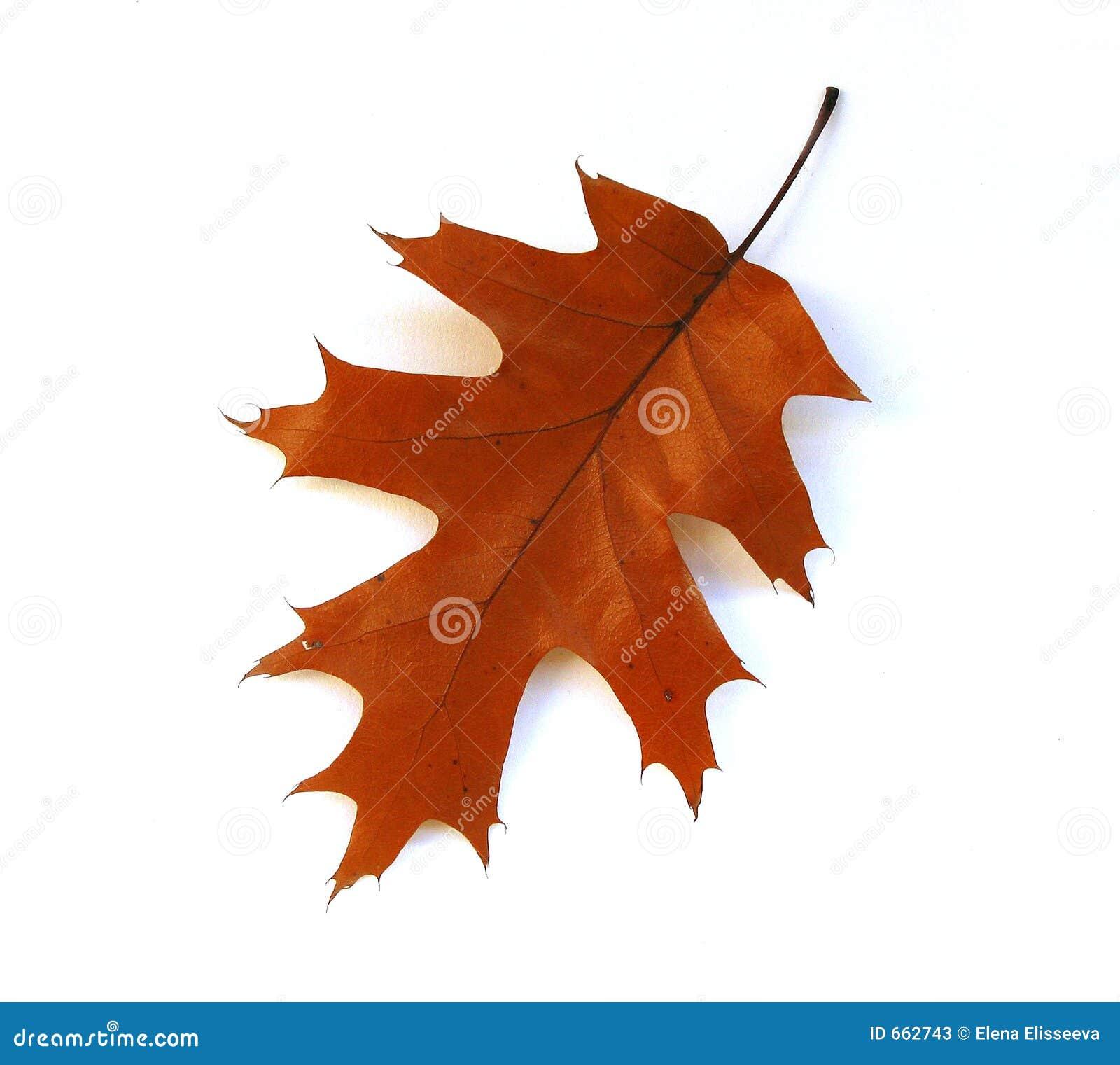 背景秋天叶子橡木白色