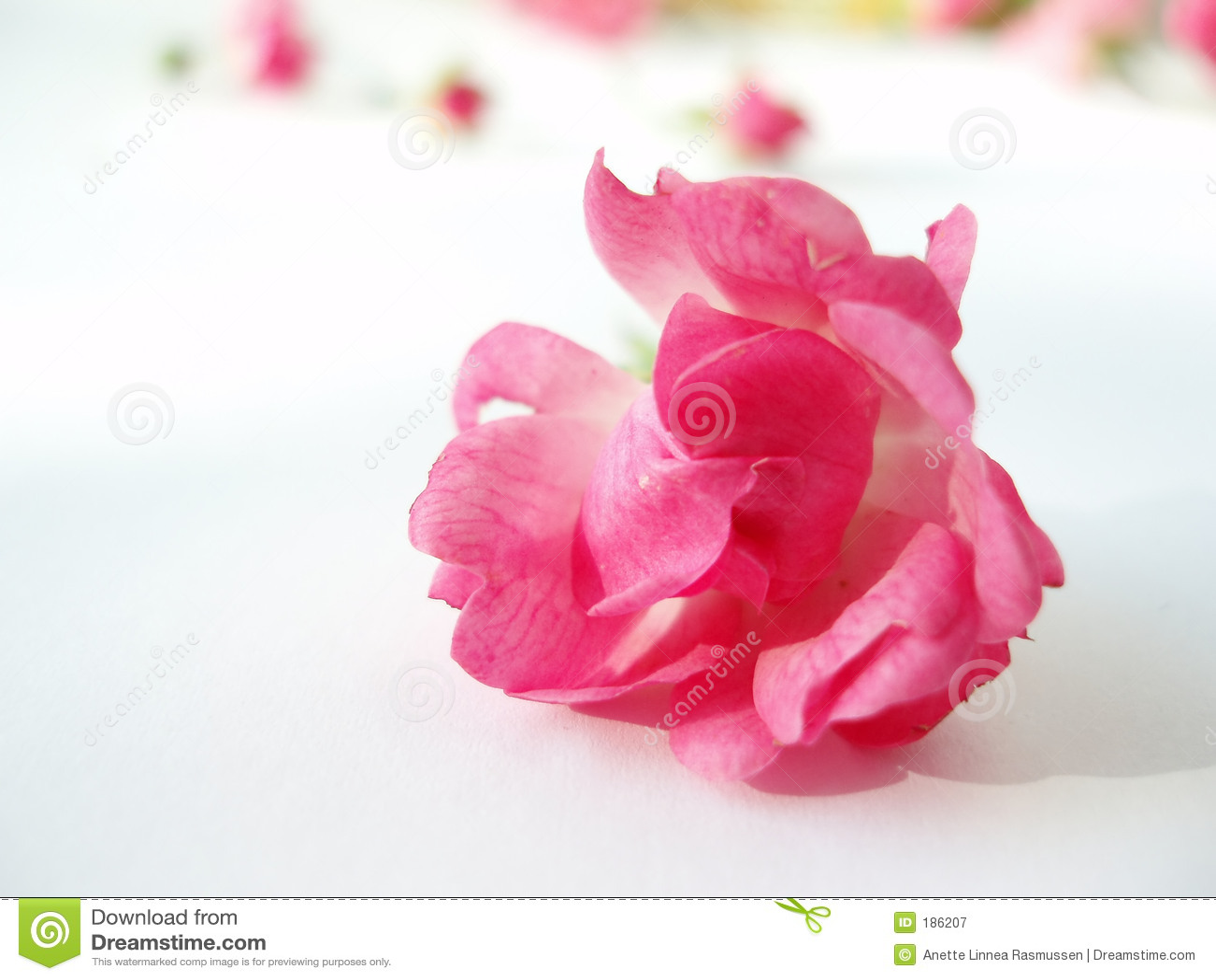 背景粉红色玫瑰白色