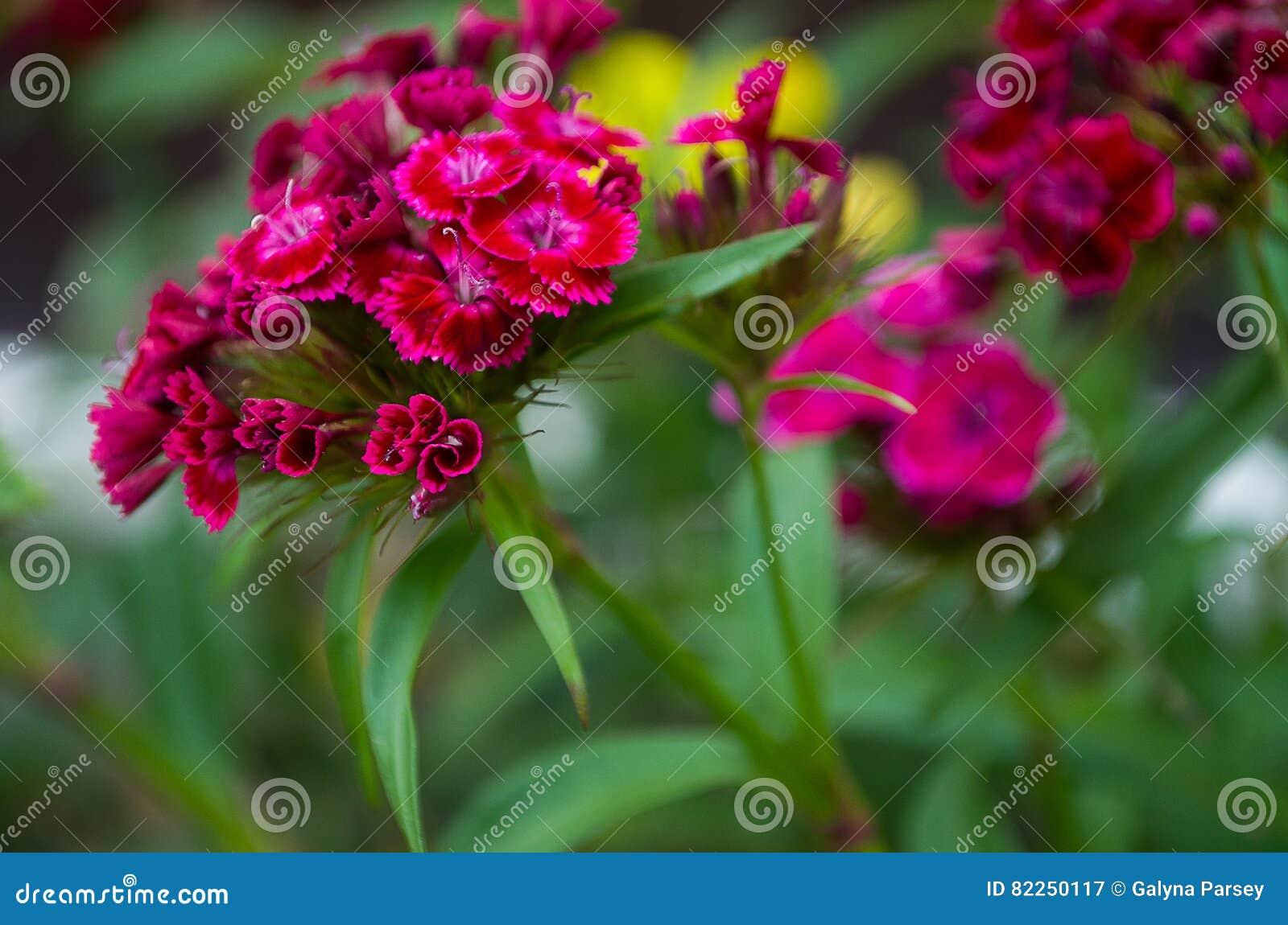 背景美丽的花束看板卡康乃馨花园