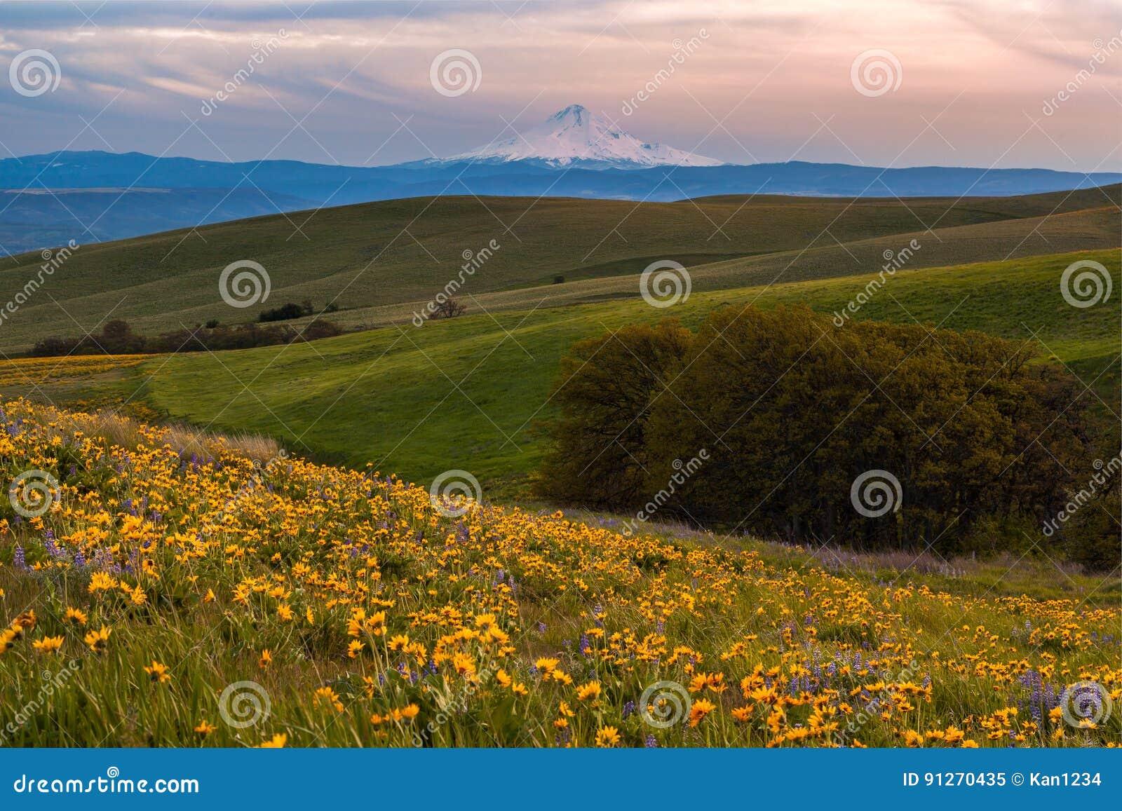 胡德山传染性的日落光和野花在哥伦比亚山脉国家公园, WA归档了