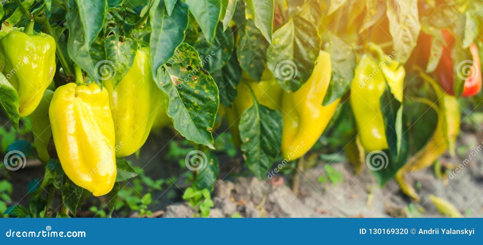 胡椒疾病是由Phytophthora Infestans病毒造成的 农业,种田,庄稼 菜疾病在领域的 Sel