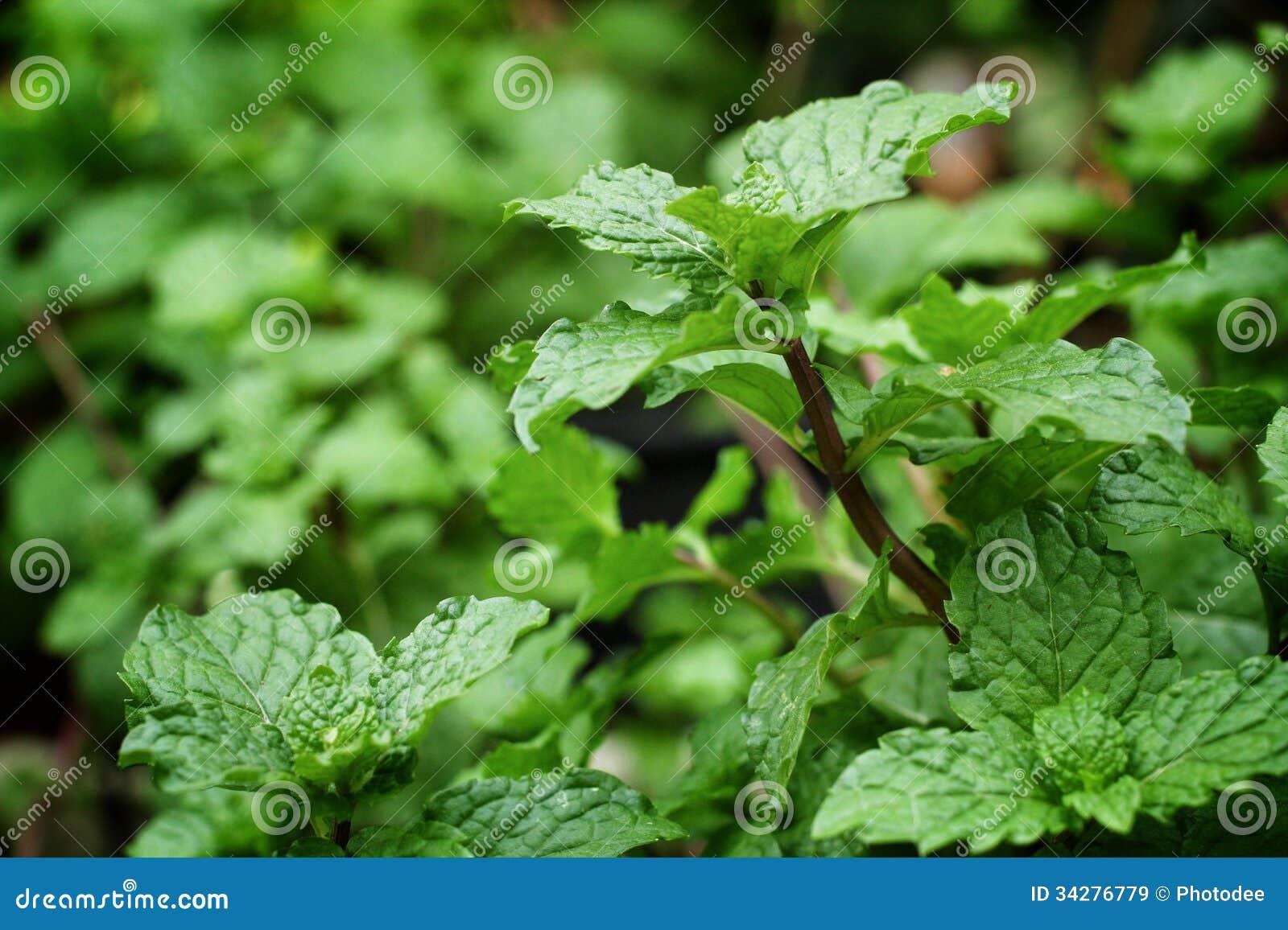 胡椒薄荷叶在庭院里.图片