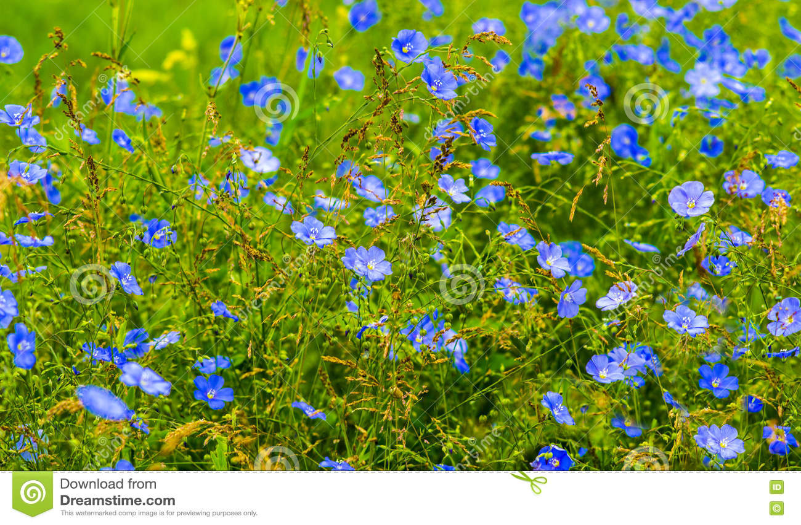 胡麻花 蓝色胡麻开花的领域