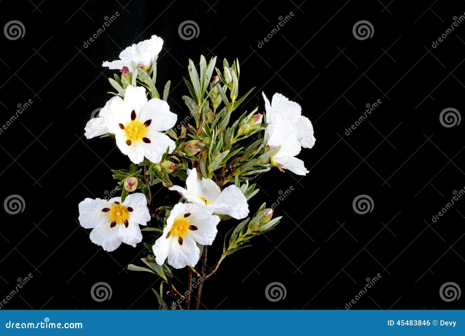 胶沙漠座莲-水犀科ladanifer