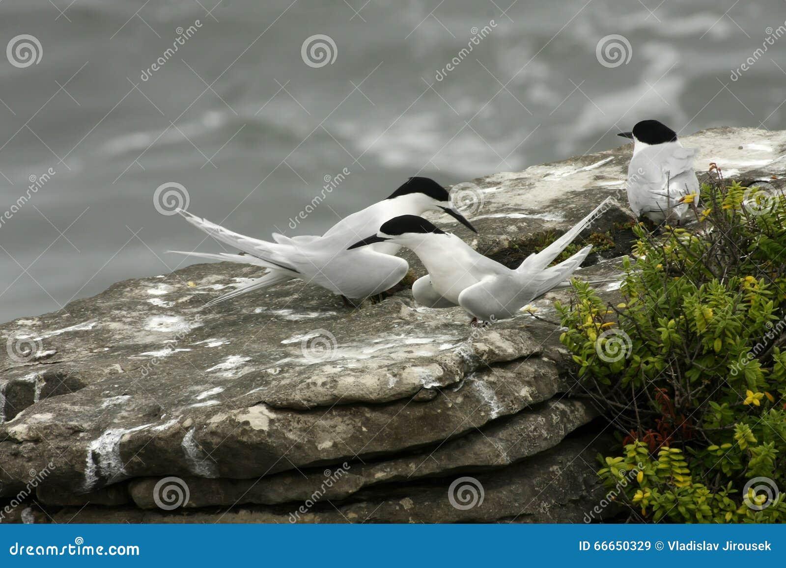 胸骨striata,白朝向的燕鸥,普纳凯基,新西兰南岛