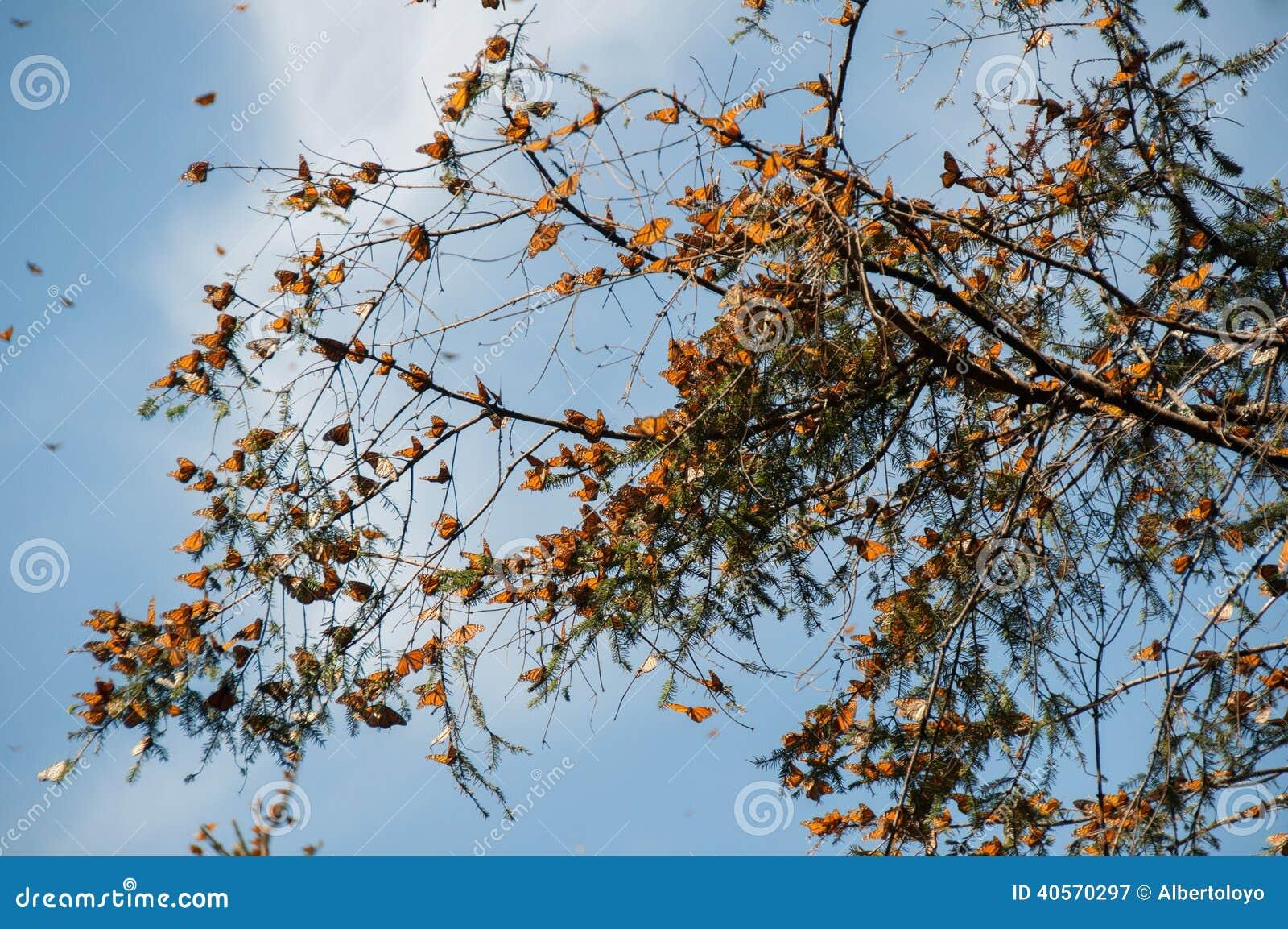 黑脉金斑蝶生物圈储备,米却肯州(墨西哥)