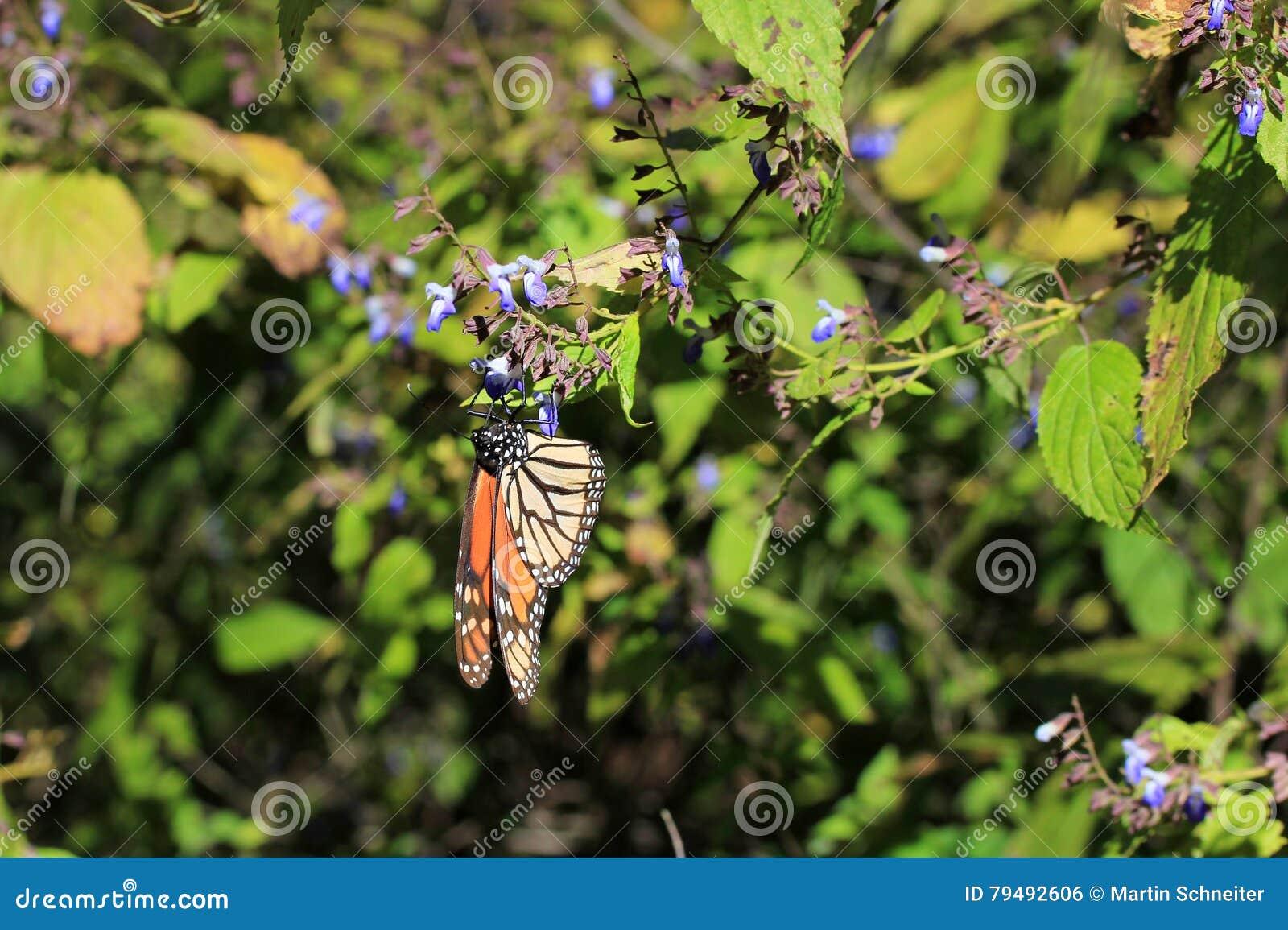 黑脉金斑蝶,米却肯州,墨西哥