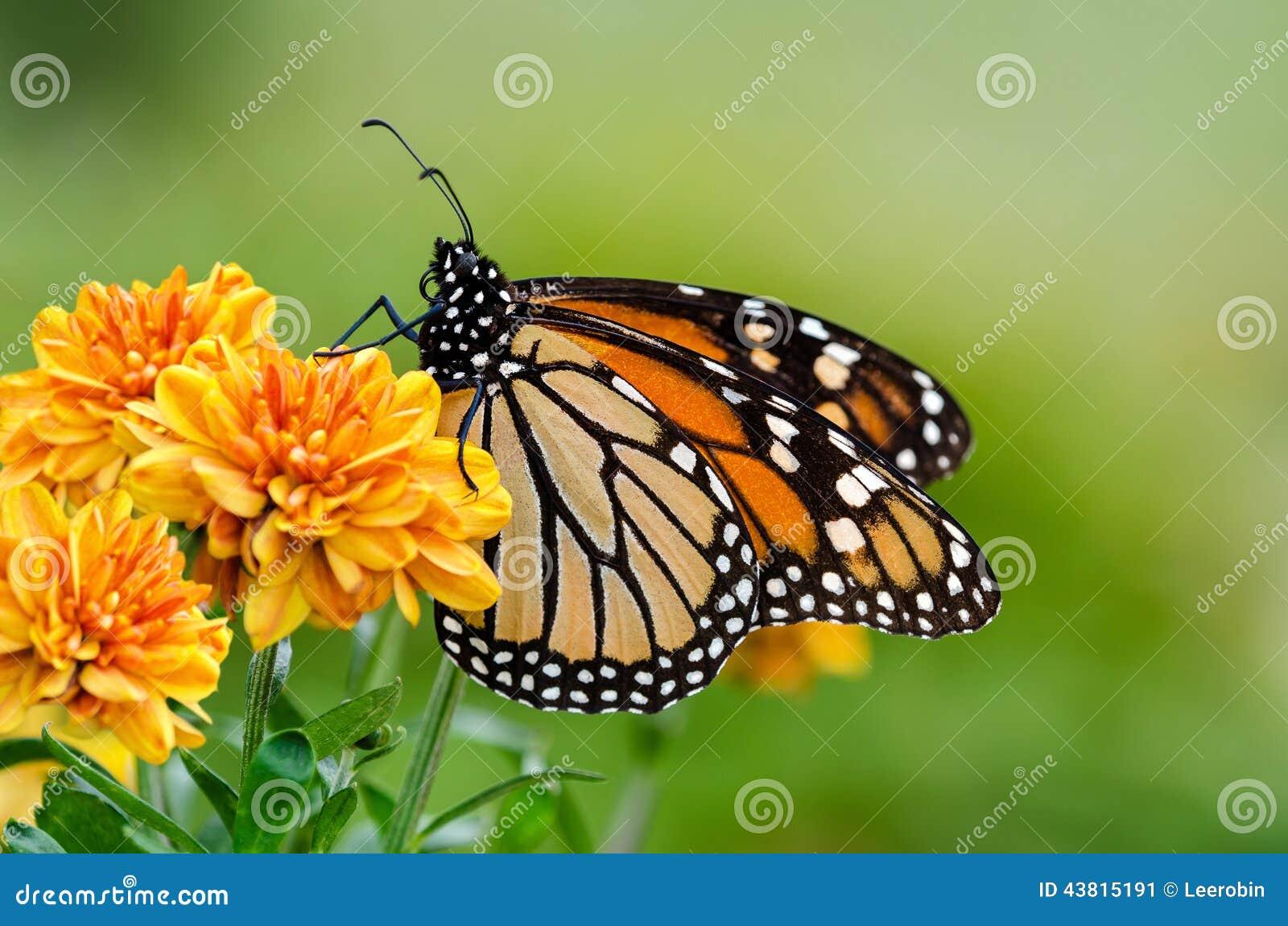 黑脉金斑蝶(丹尼亚斯plexippus)在秋天迁移时